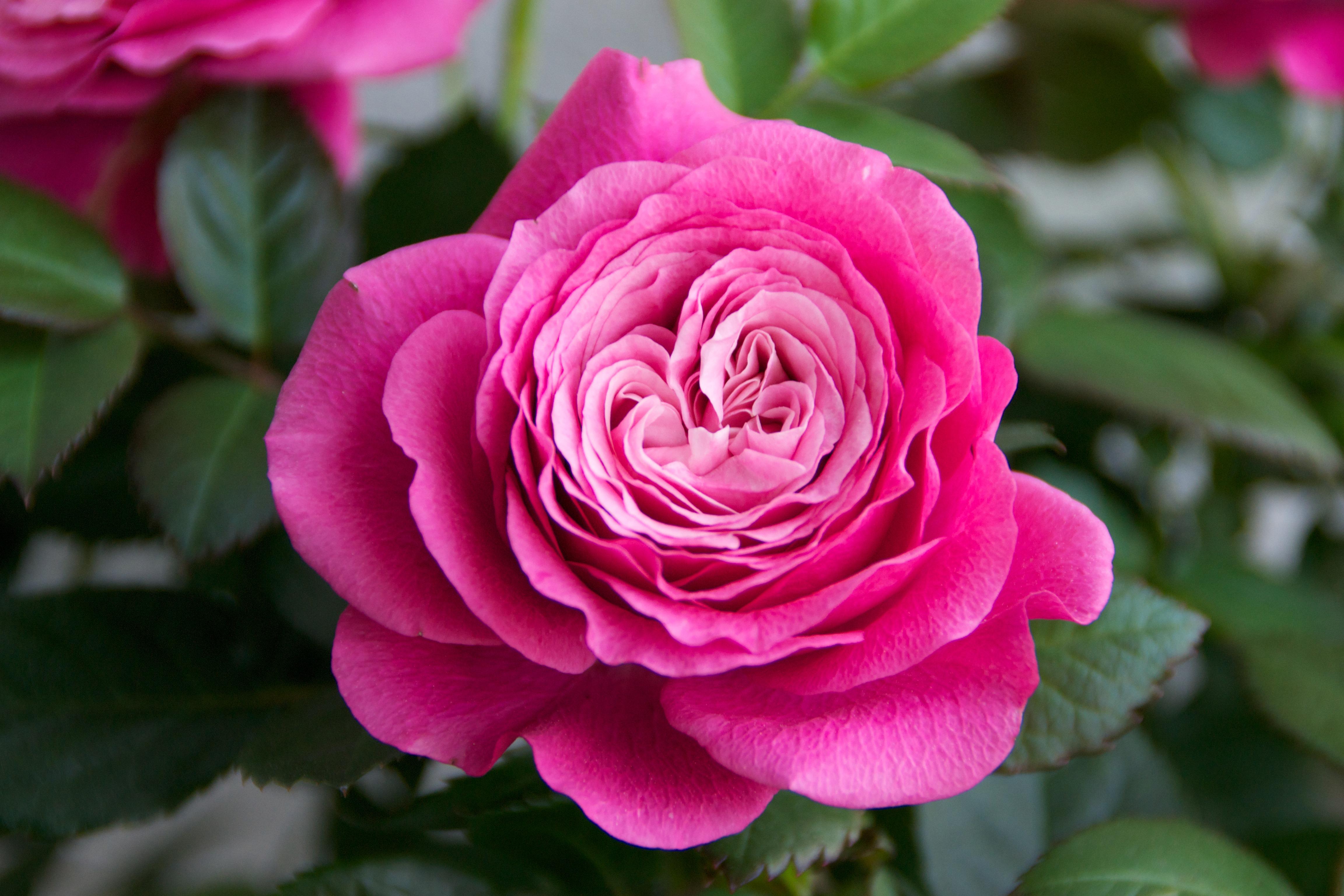 무료 이미지 꽃잎 장미 꽃 담홍색 플로라 꽃들 아름다움 플로리 분다 향기 꽃 피는 식물
