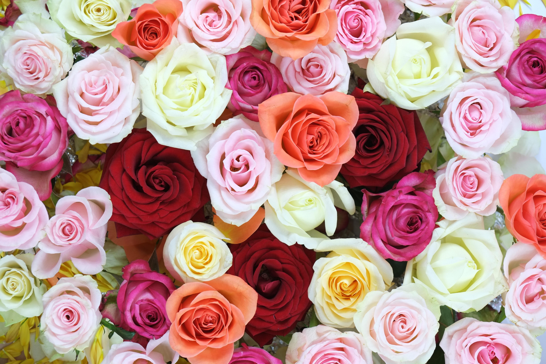 готовил репортаж все цвета роз смотреть картинки очень разочарован