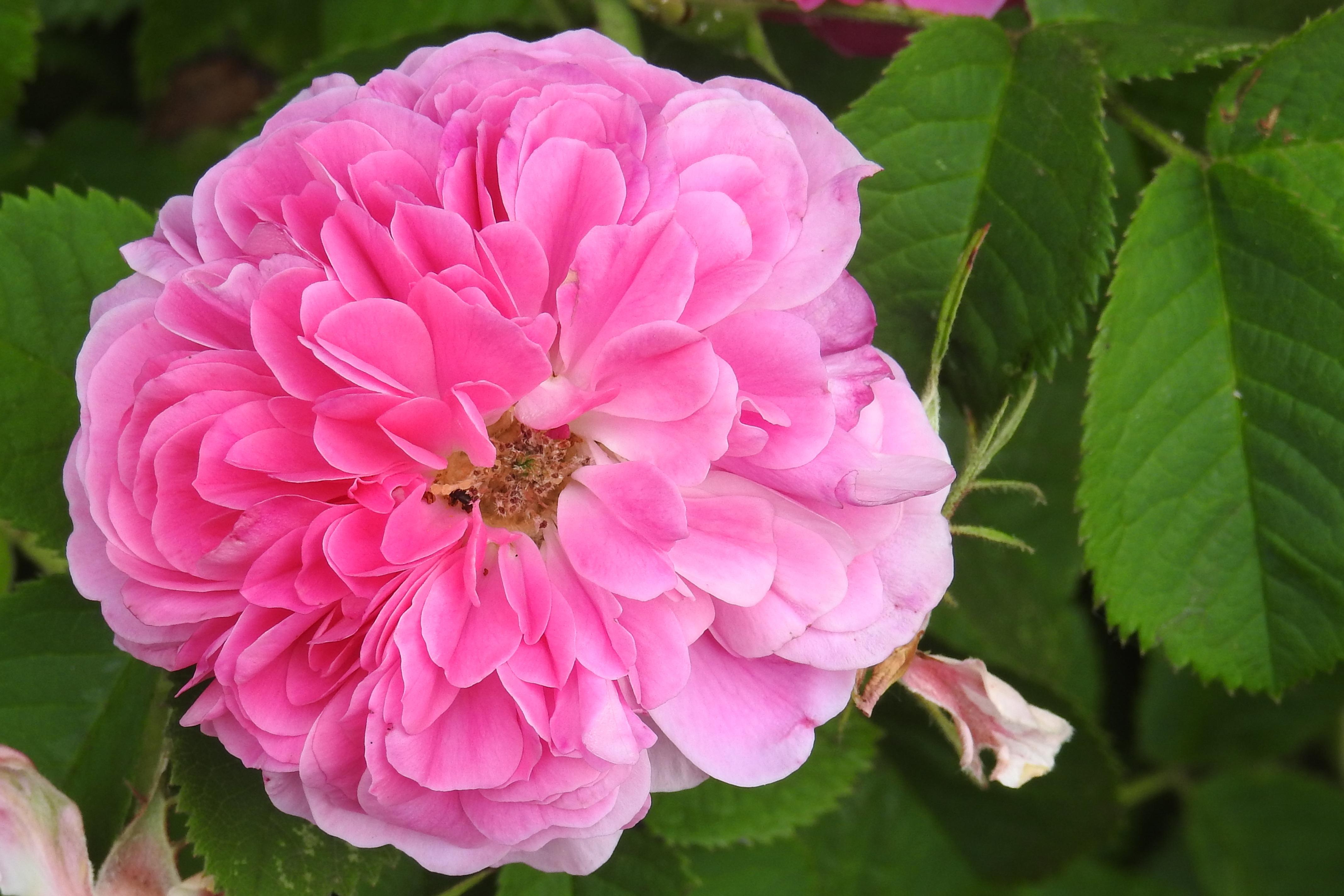 Images Gratuites : fleur, pétale, Floraison, rose rose, Floribunda ...