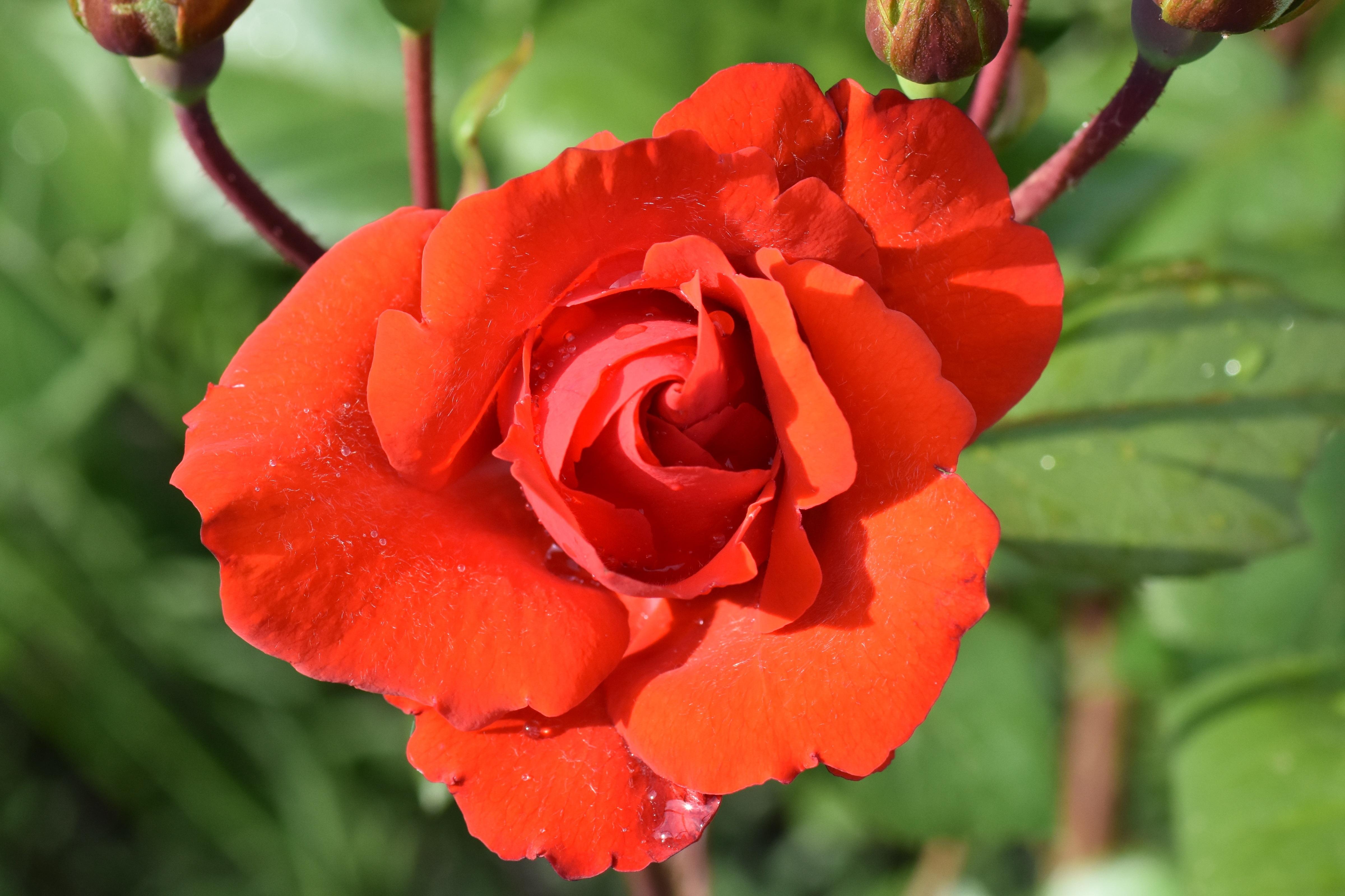 images gratuites : fleur, pétale, floraison, jardin, flore, rose