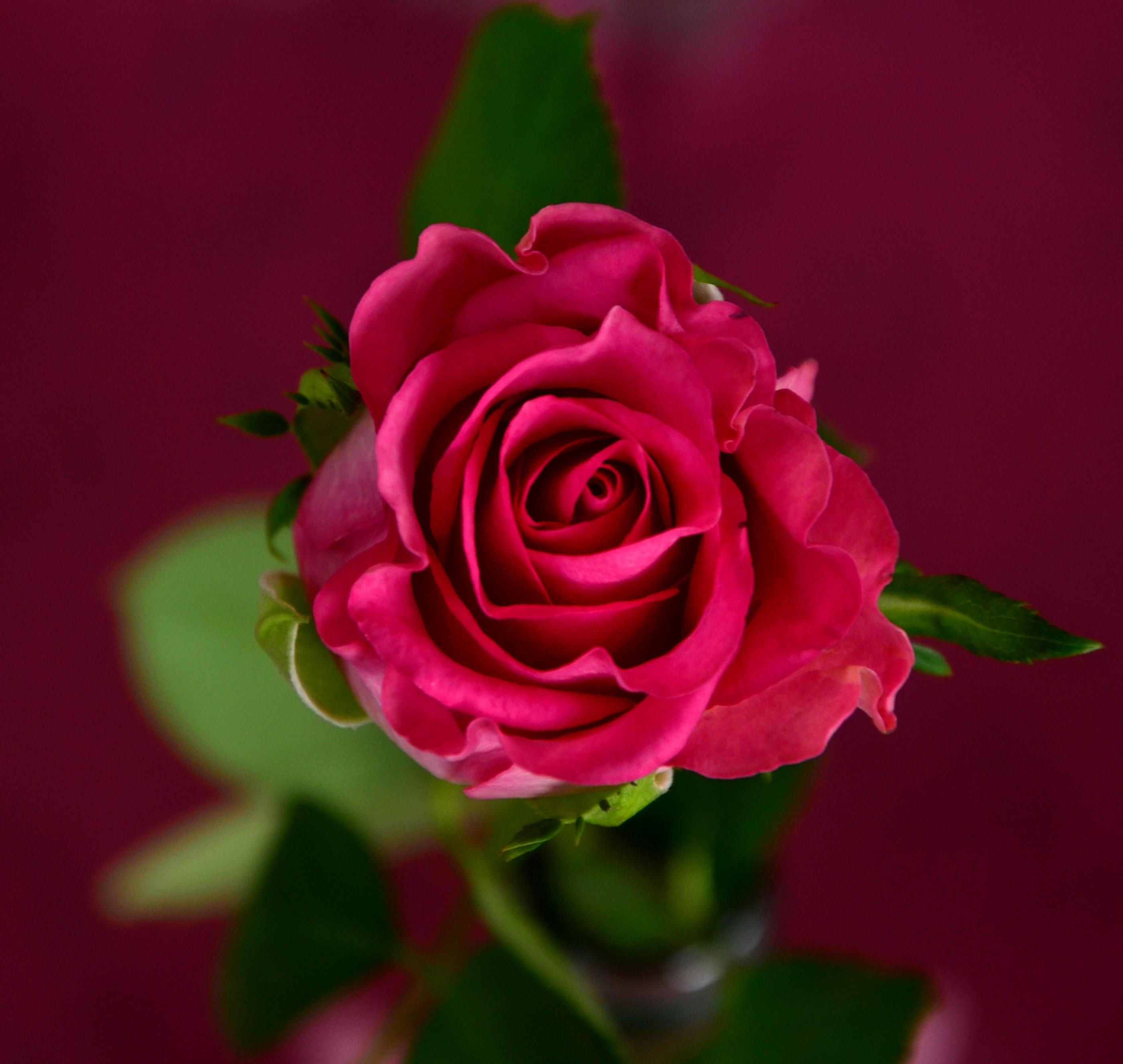 blossom plant flower petal bloom rose red pink flora close up roses floristry floribunda macro photography