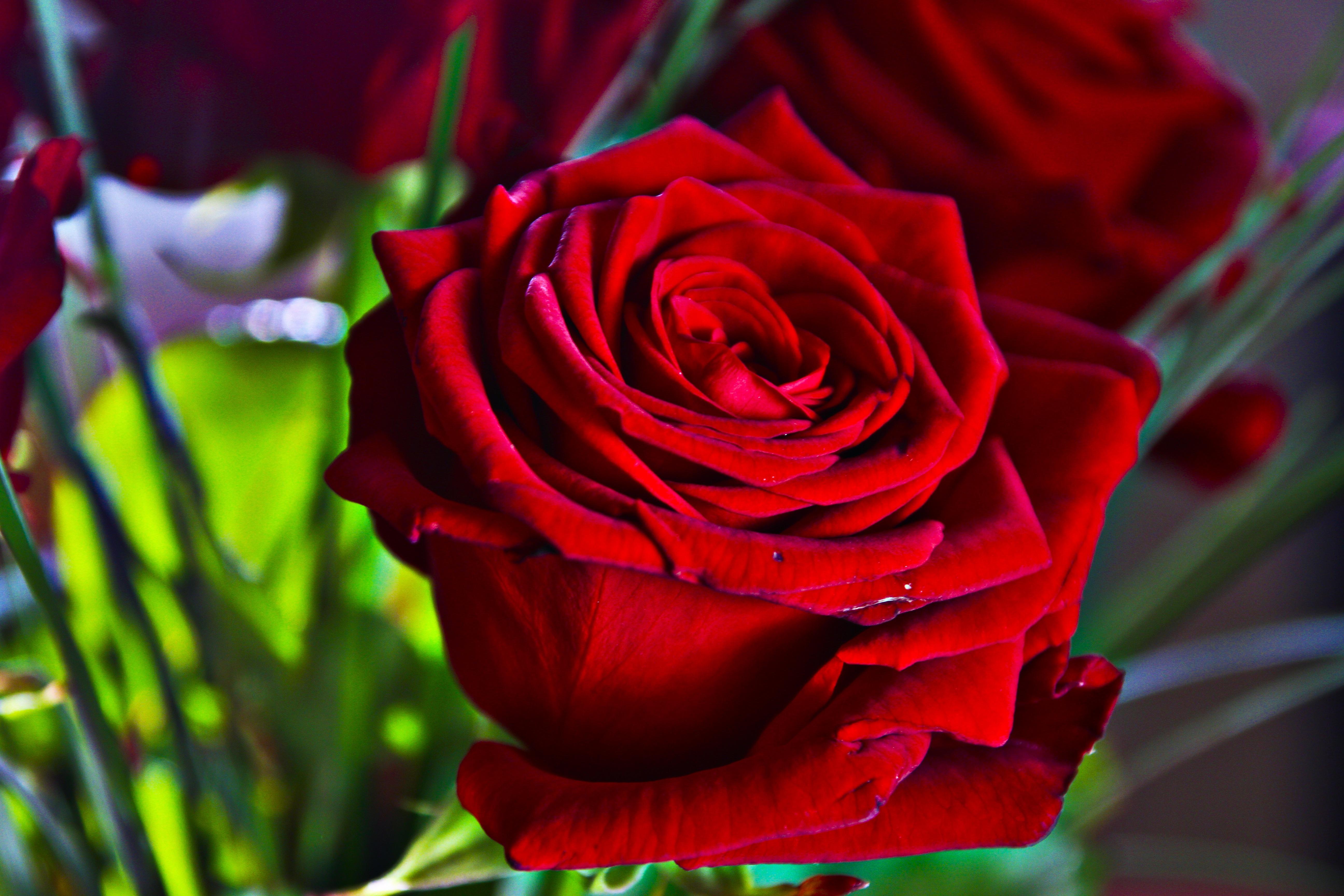 широкоформатные фото красной розы плюсах