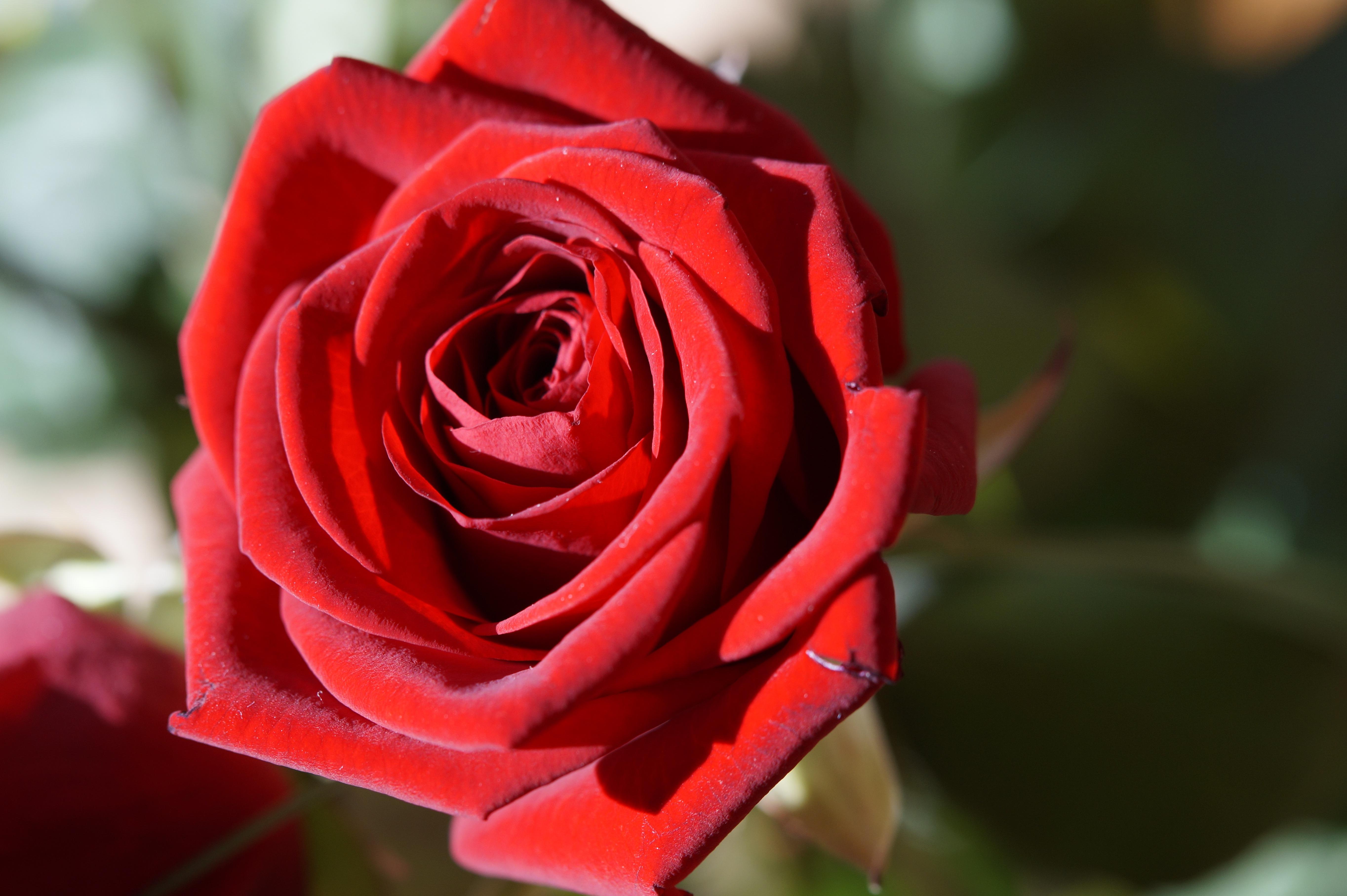 Gambar menanam daun bunga berkembang percintaan romantis berwarna merah muda mawar merah hari pernikahan merapatkan floribunda naik mekar