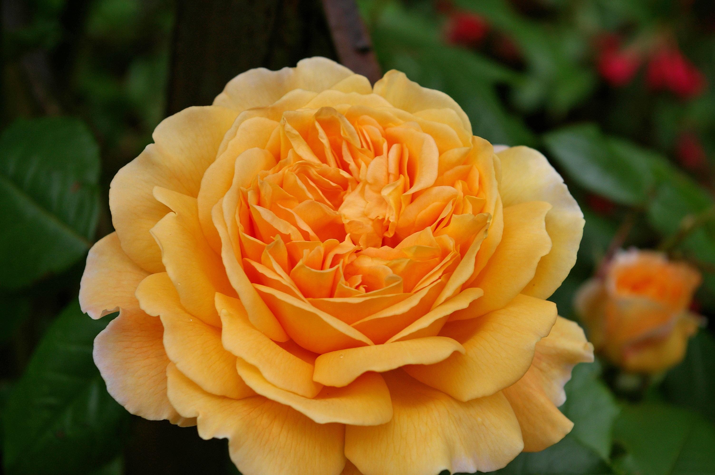 самые цветение розы маргарет фото отзывы налет