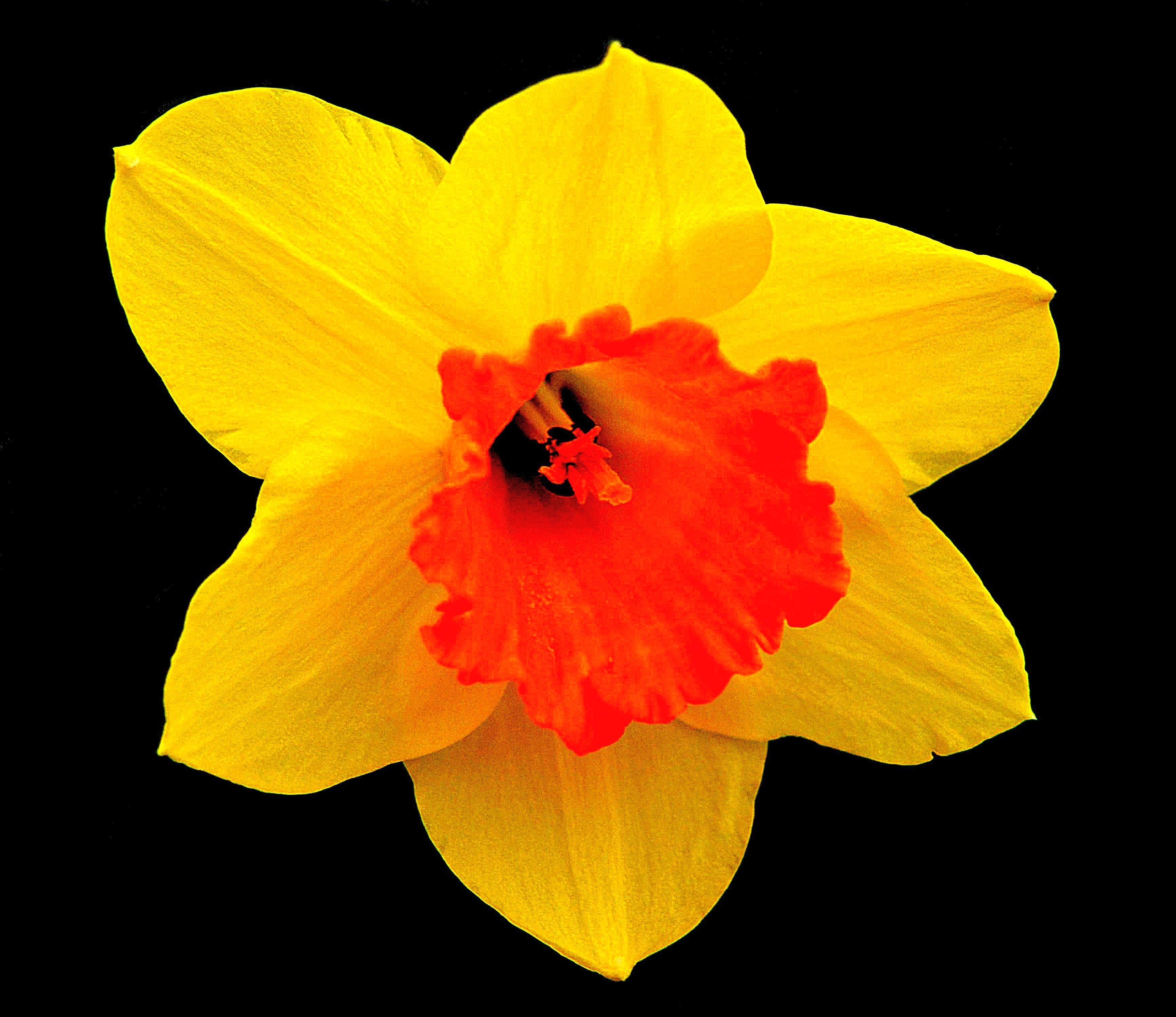 images gratuites fleur p tale floraison printemps jaune jonquille flore narcisse. Black Bedroom Furniture Sets. Home Design Ideas