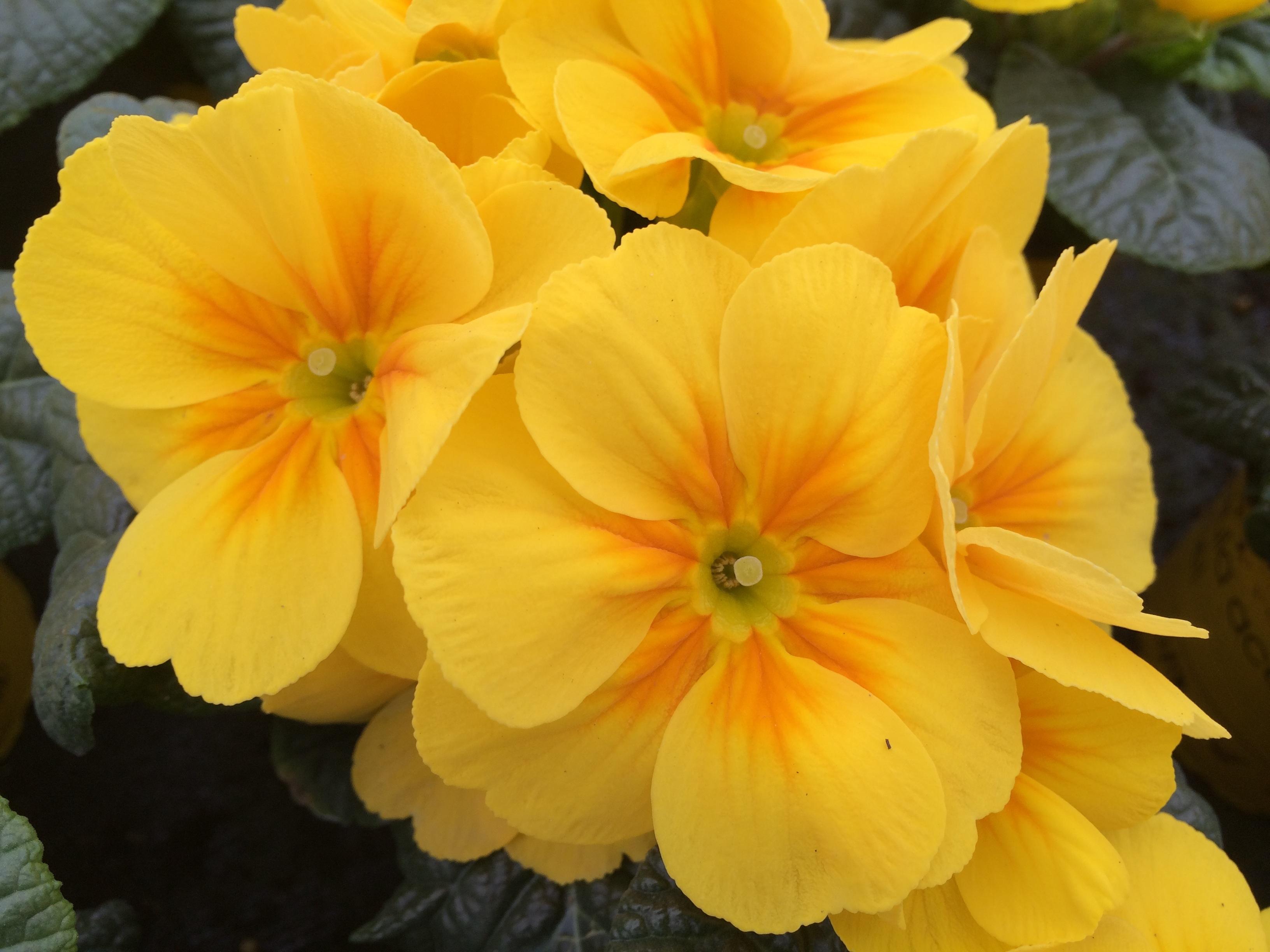 images gratuites p tale floraison printemps jardin flore fleur jaune primev re narcisse. Black Bedroom Furniture Sets. Home Design Ideas