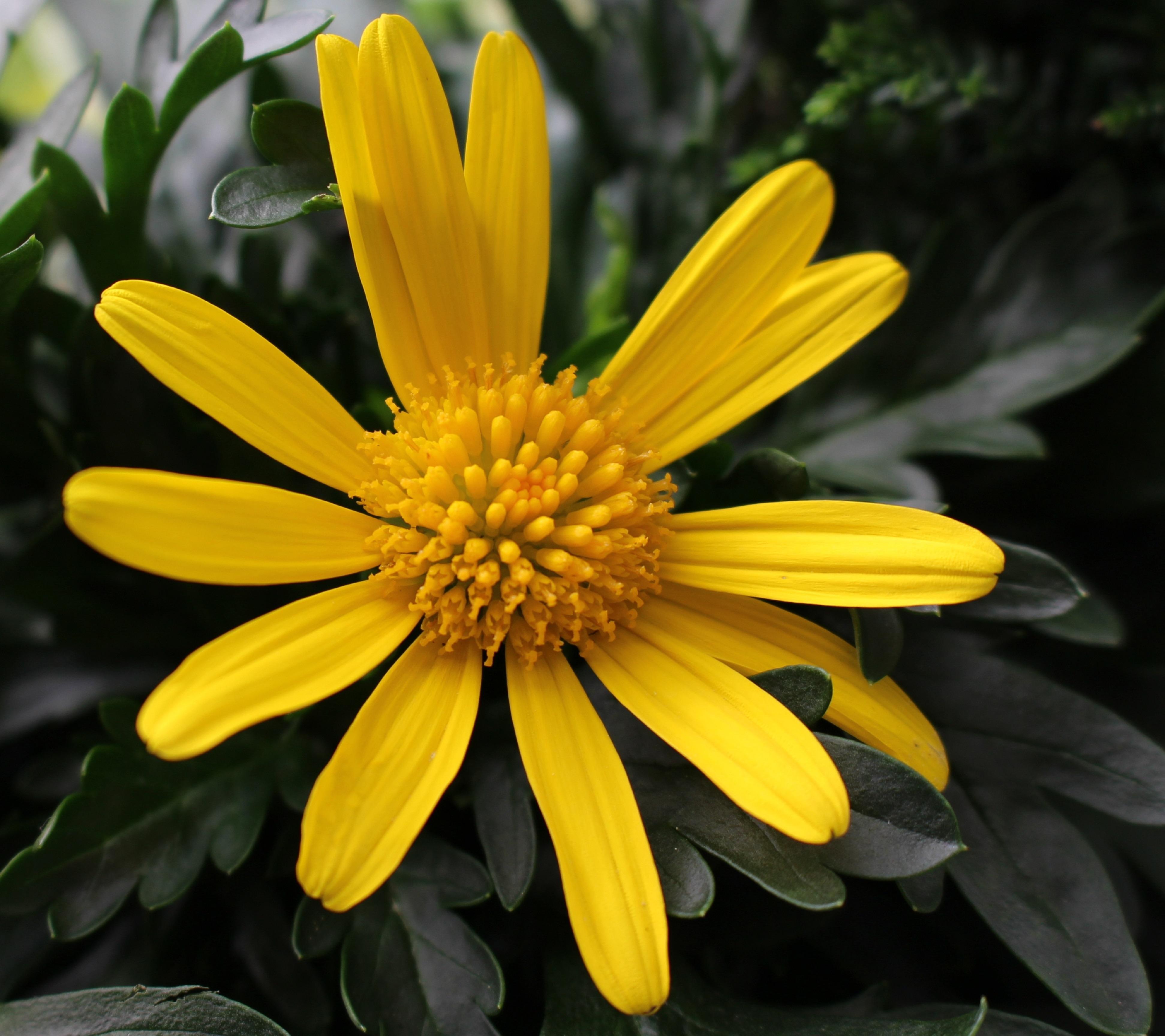 Images Gratuites Fleur Petale Floraison Ete Marguerite