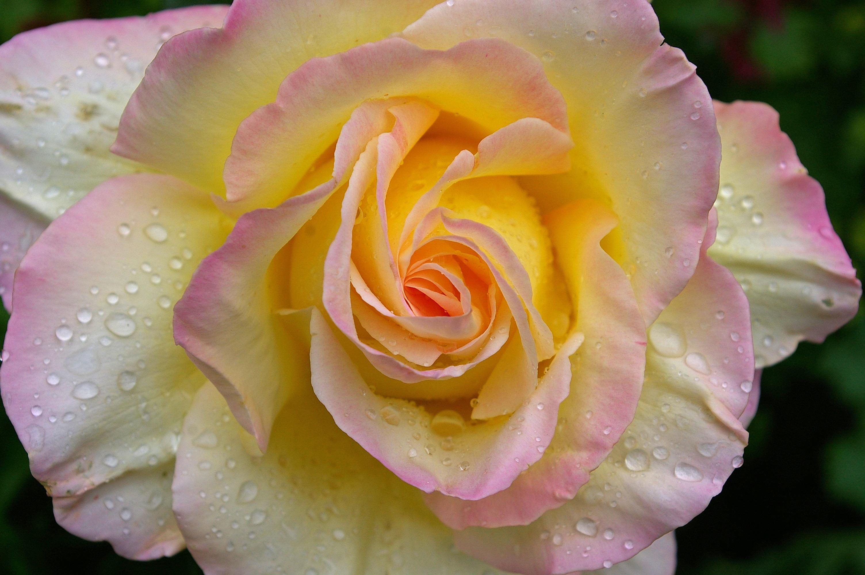 gratis billeder blomst kronblad sommer elsker rose. Black Bedroom Furniture Sets. Home Design Ideas