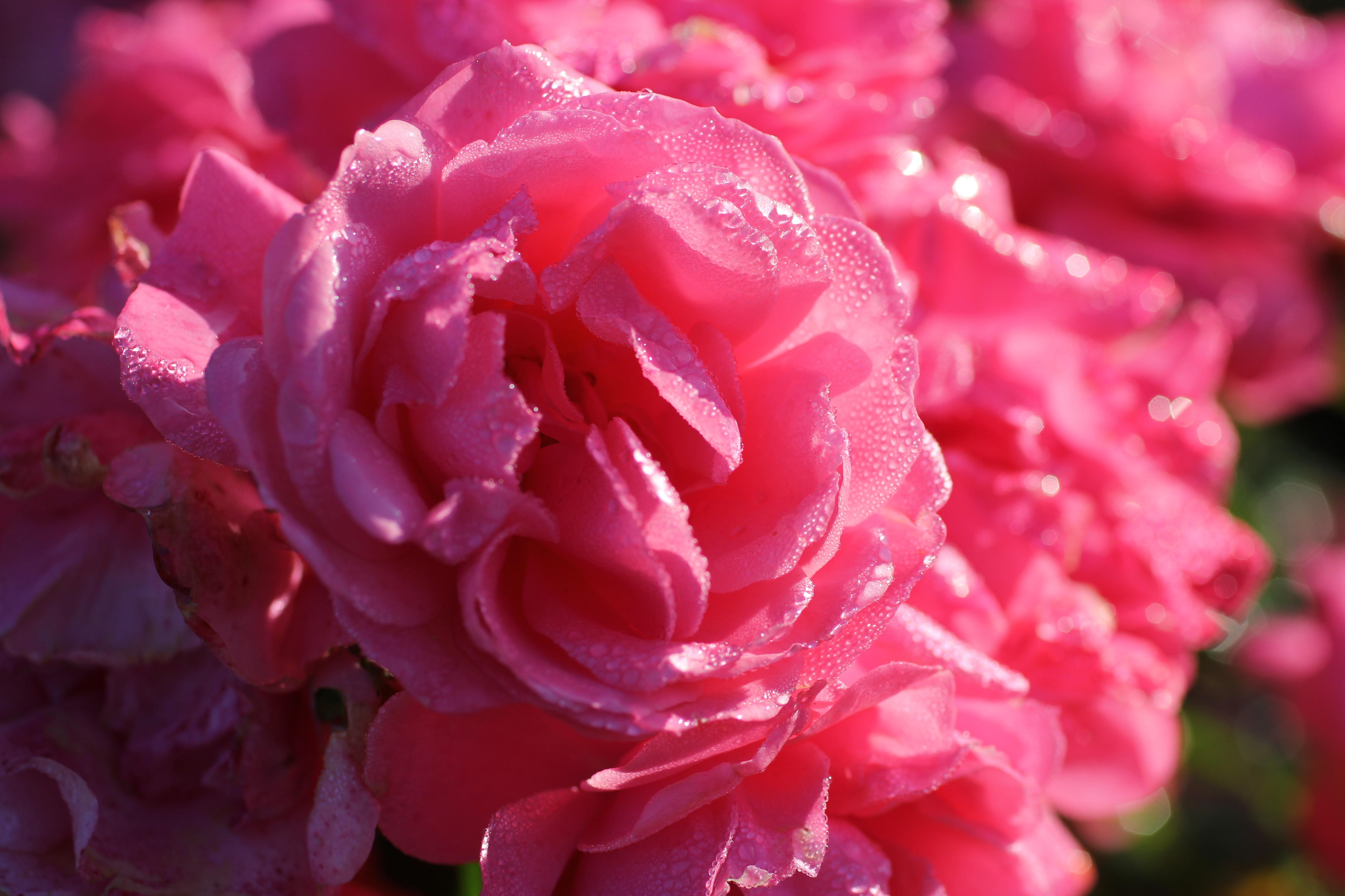 Blossom Plant Flower Petal Bloom Summer Rose Pink Flora Morning Dew Shrub Peony Floribunda