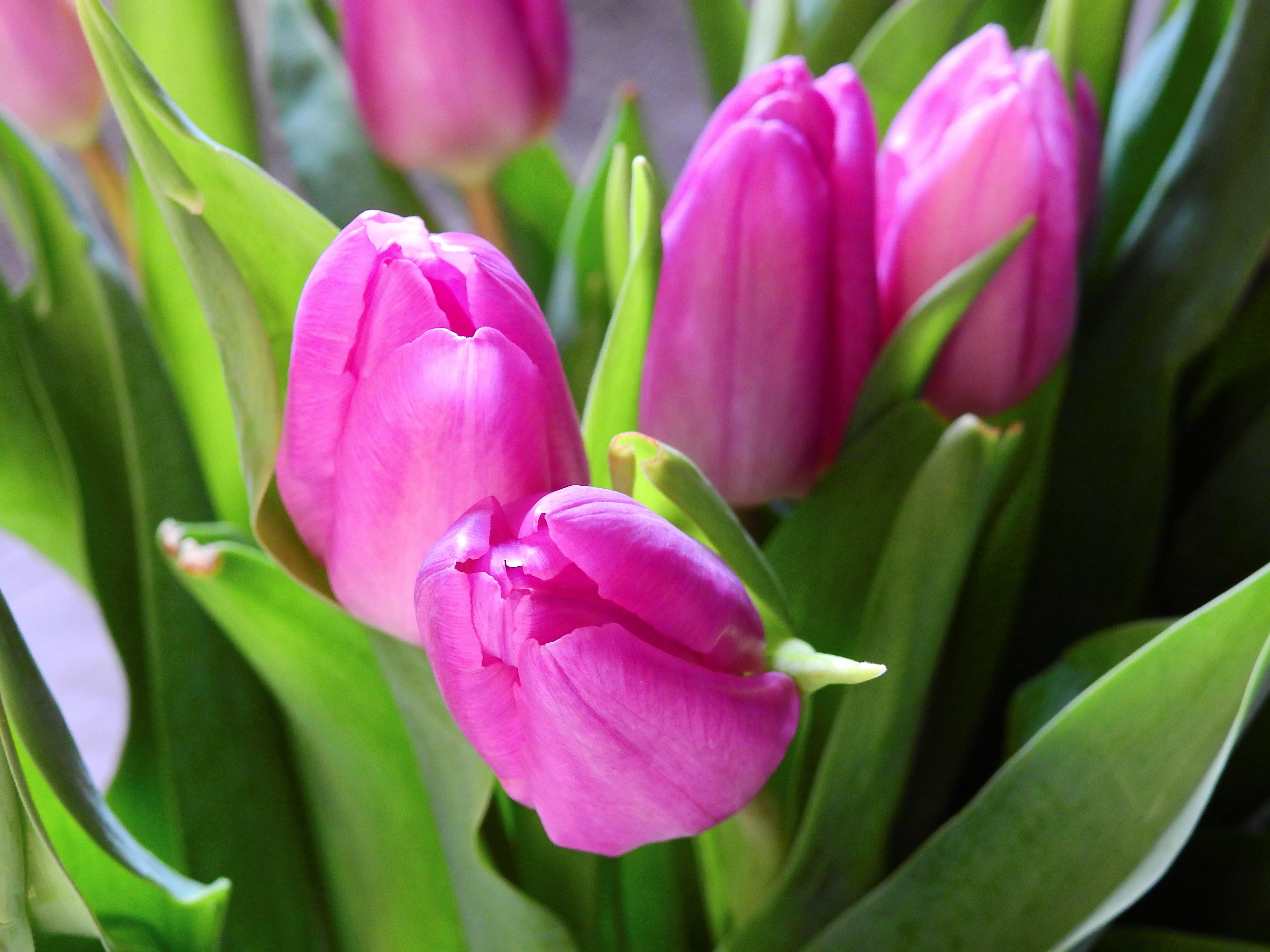 images gratuites : fleur, pétale, floraison, tulipe, bouquet