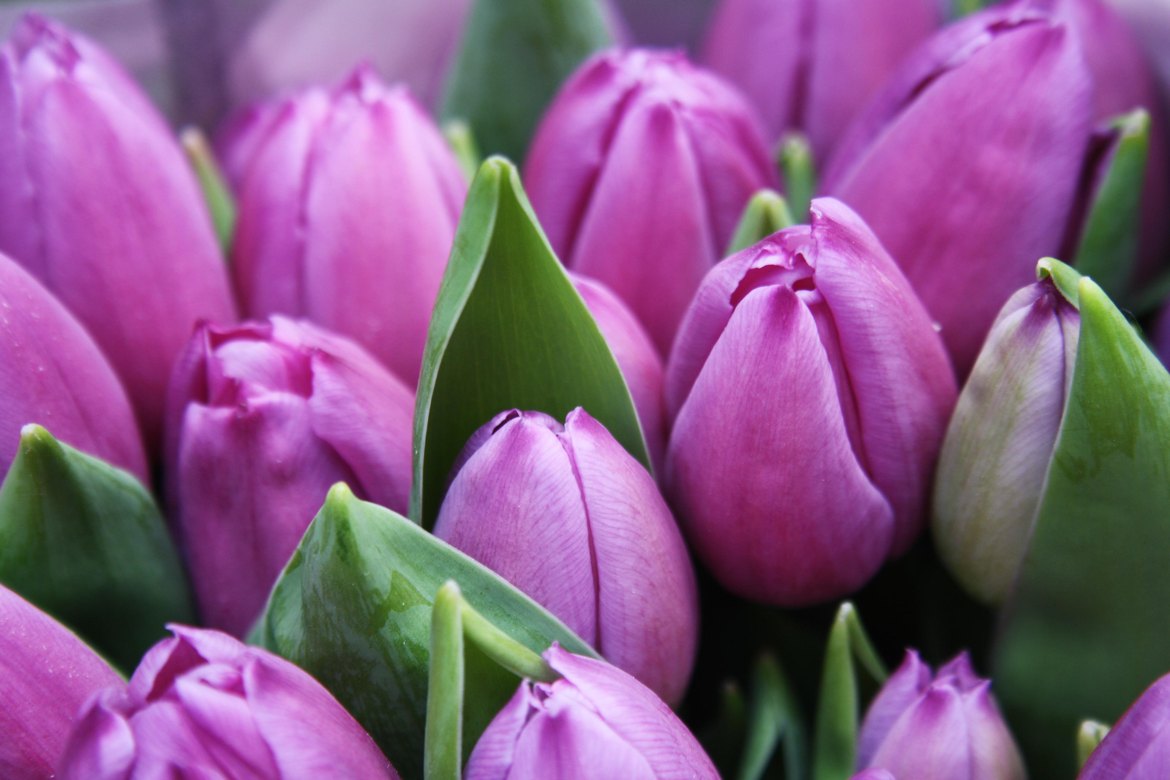 Цветы тюльпаны картинки красивые, поздравленьями