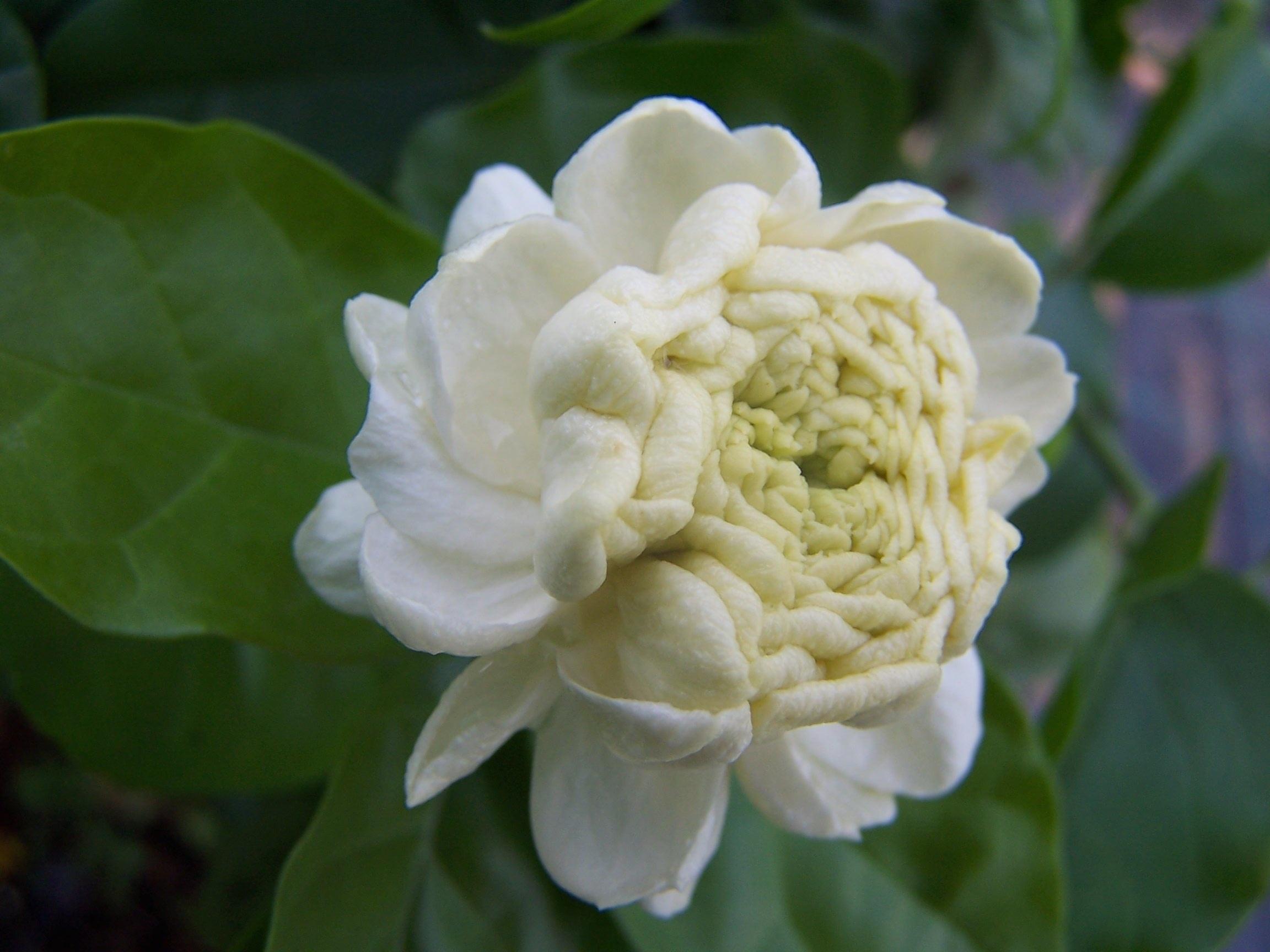 Free Images Blossom Petal Botany Flora Gardenia Macro