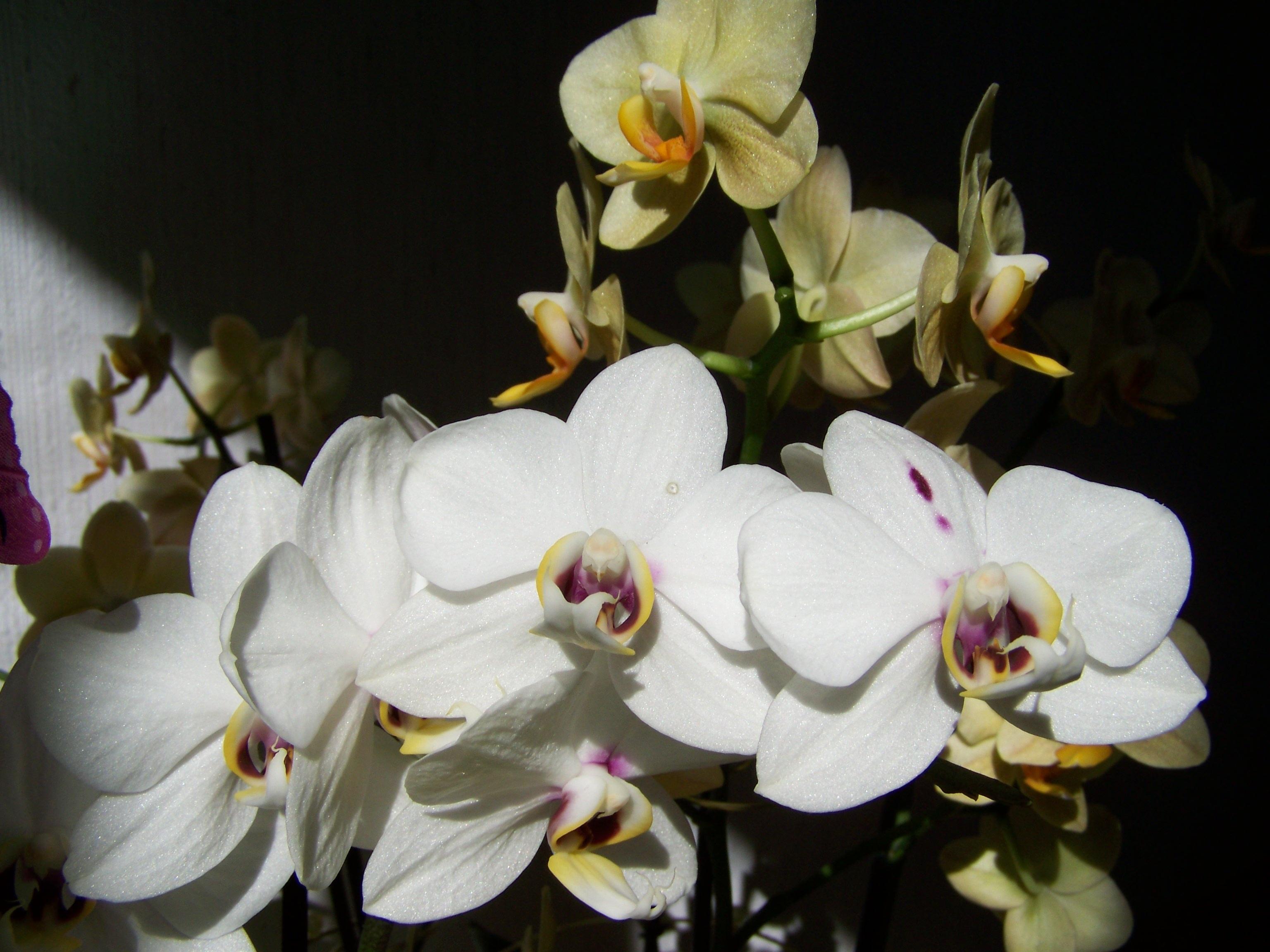 Все картинки белых орхидей