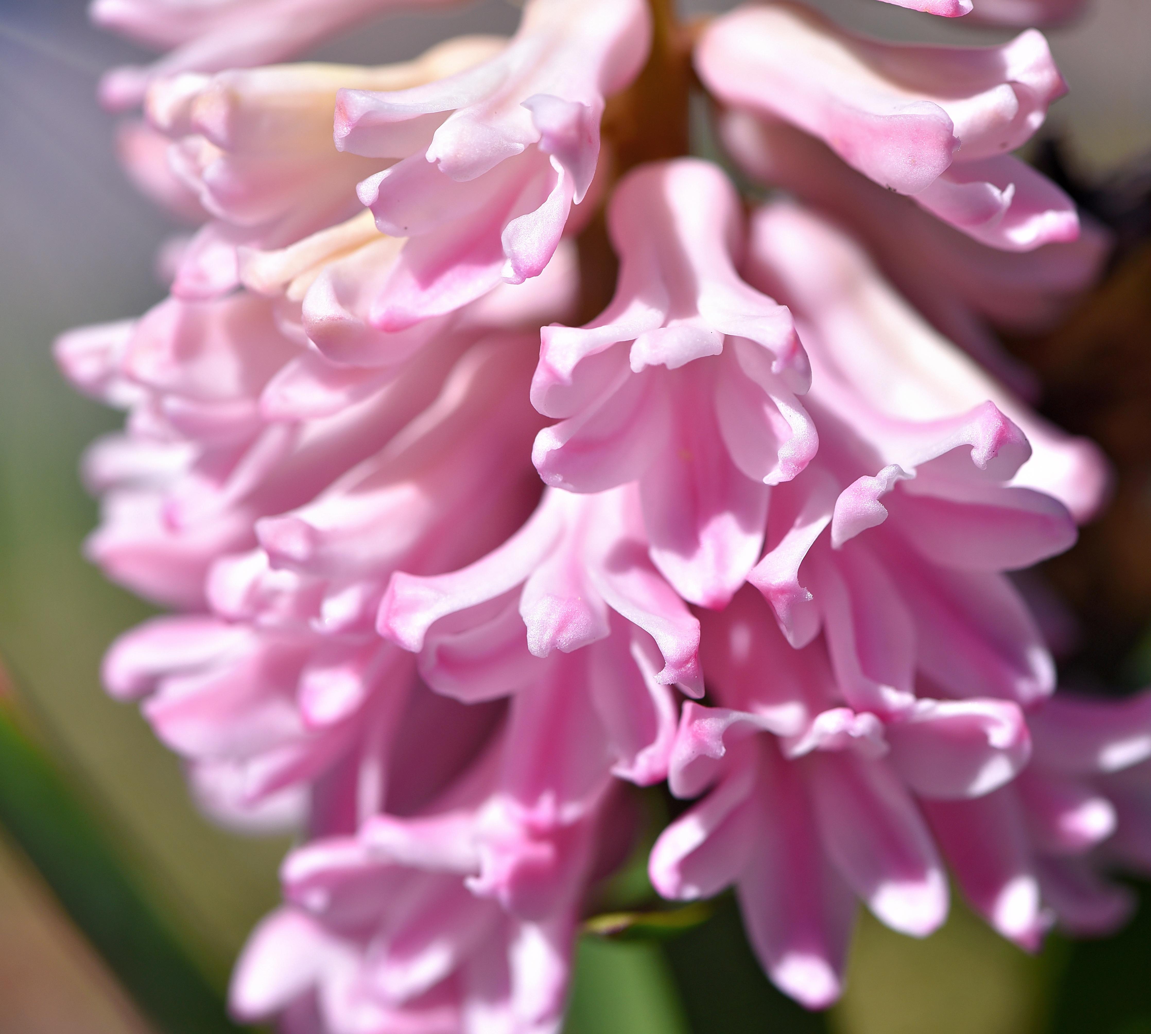 Images Gratuites : pétale, botanique, jardin, Fermer, flore ...