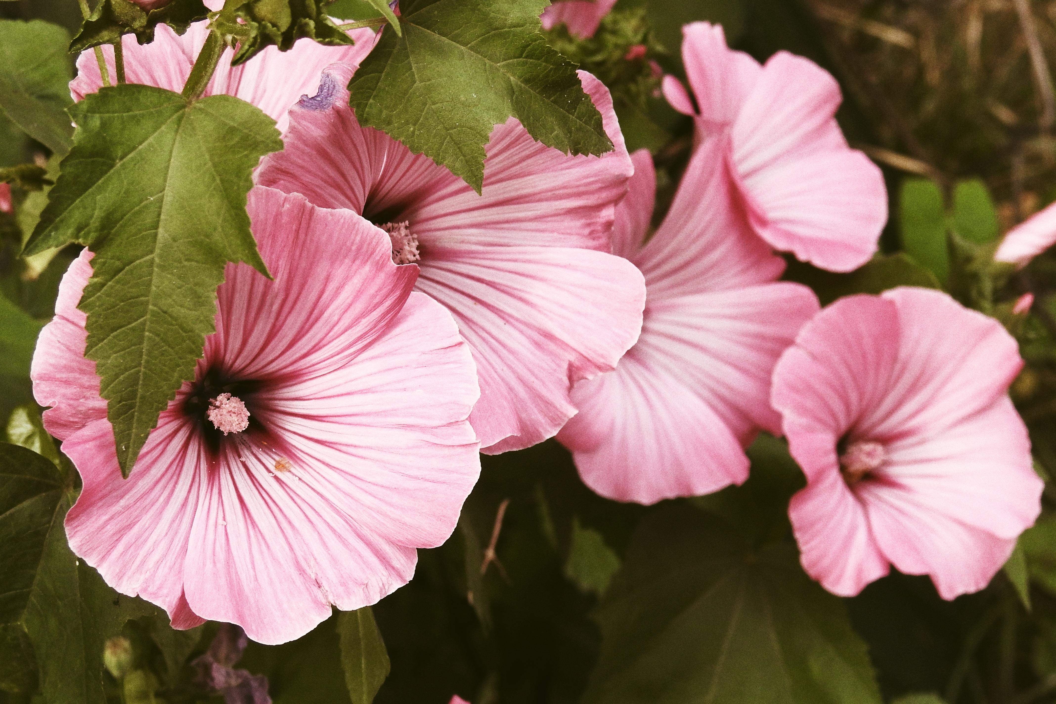 images gratuites : pétale, botanique, jardin, flore, malva
