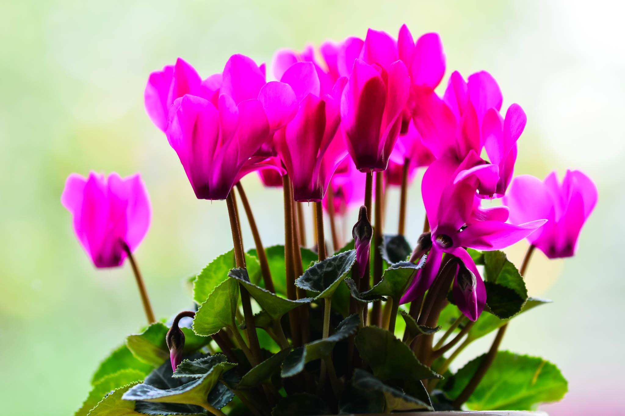 картинки цветы цикламен бывшая
