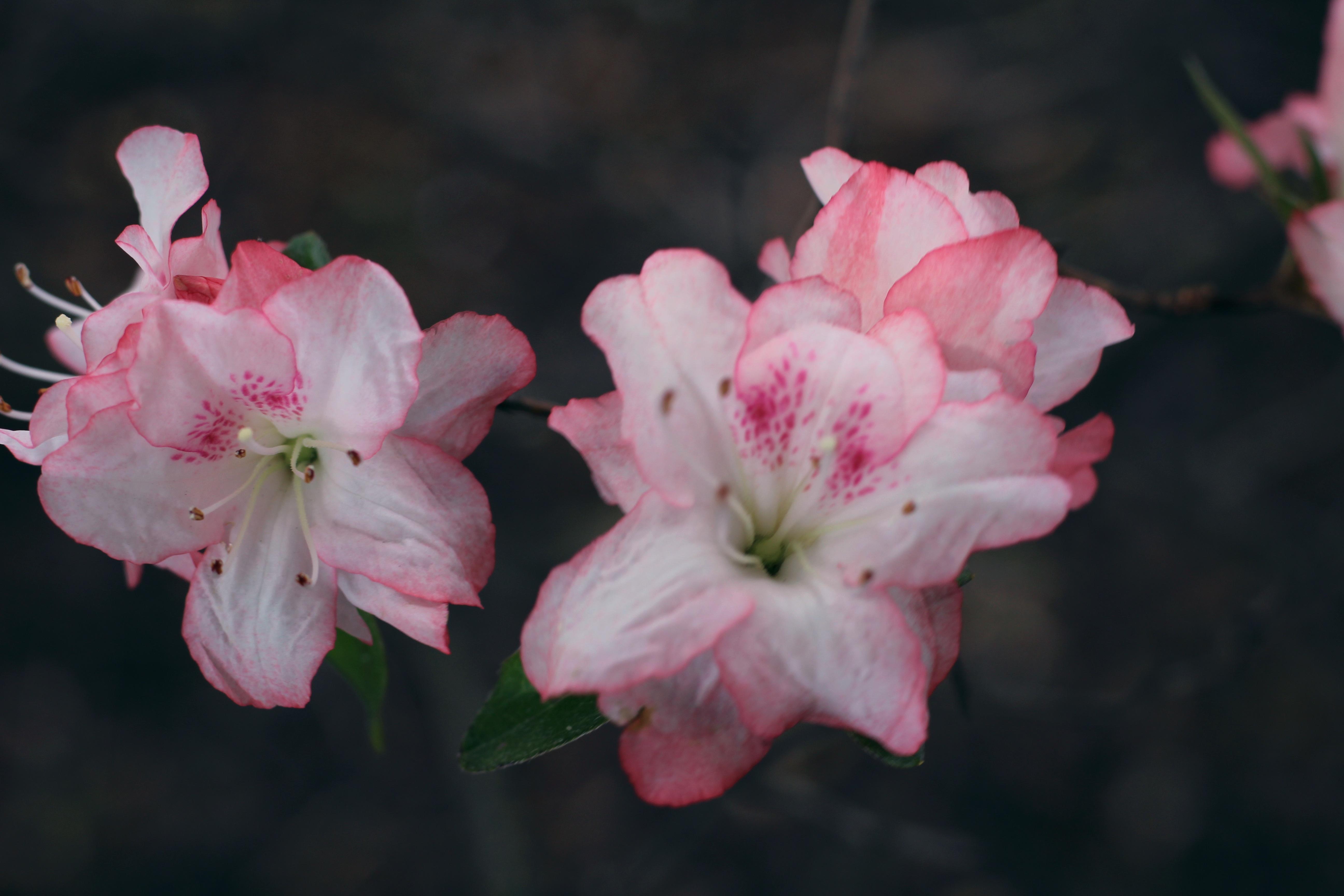 Images gratuites fleur p tale botanique rose flore for Plante ligneuse