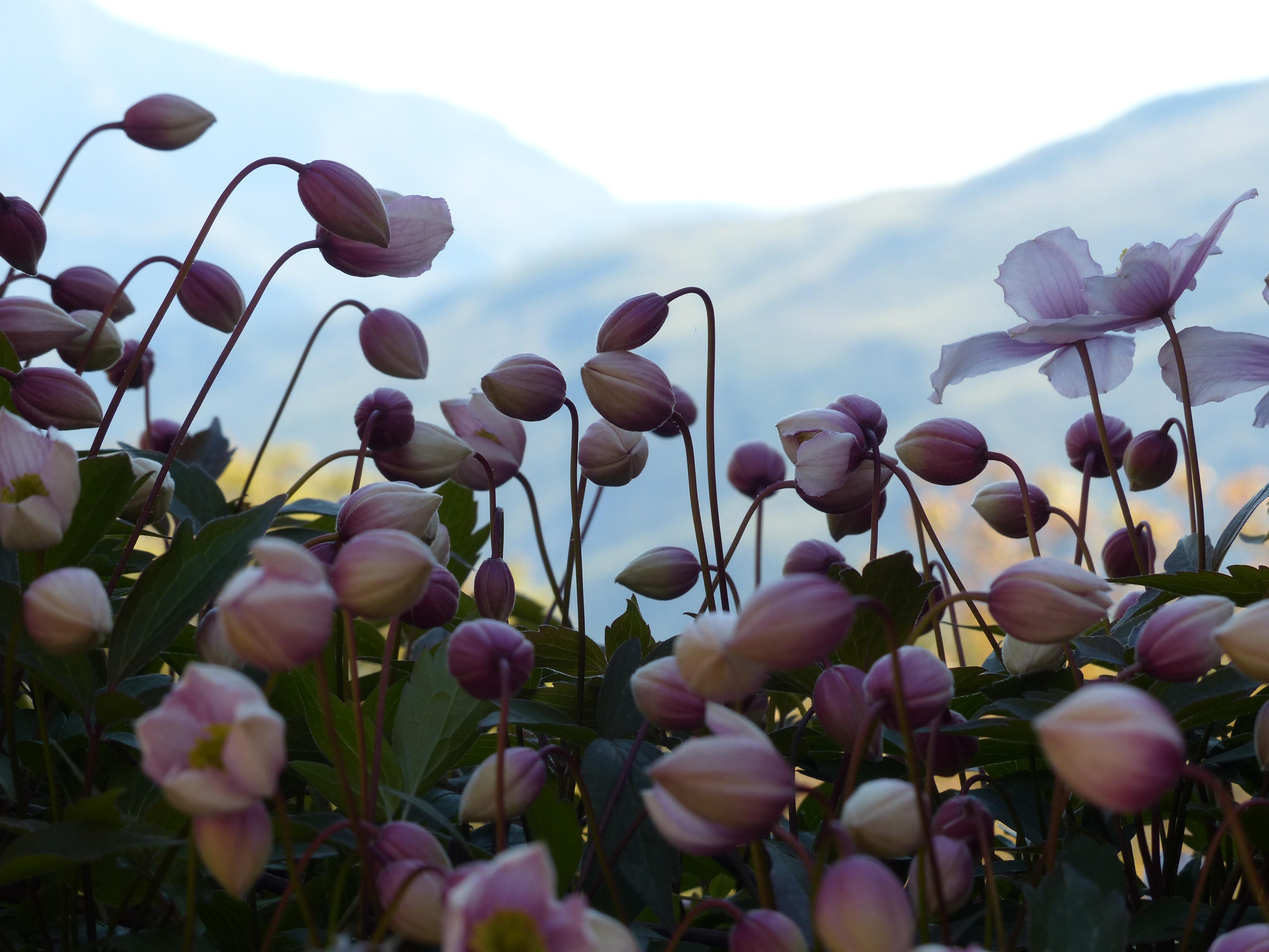 Free Images Blossom Petal Botany Pink Flora Wildflower Bud