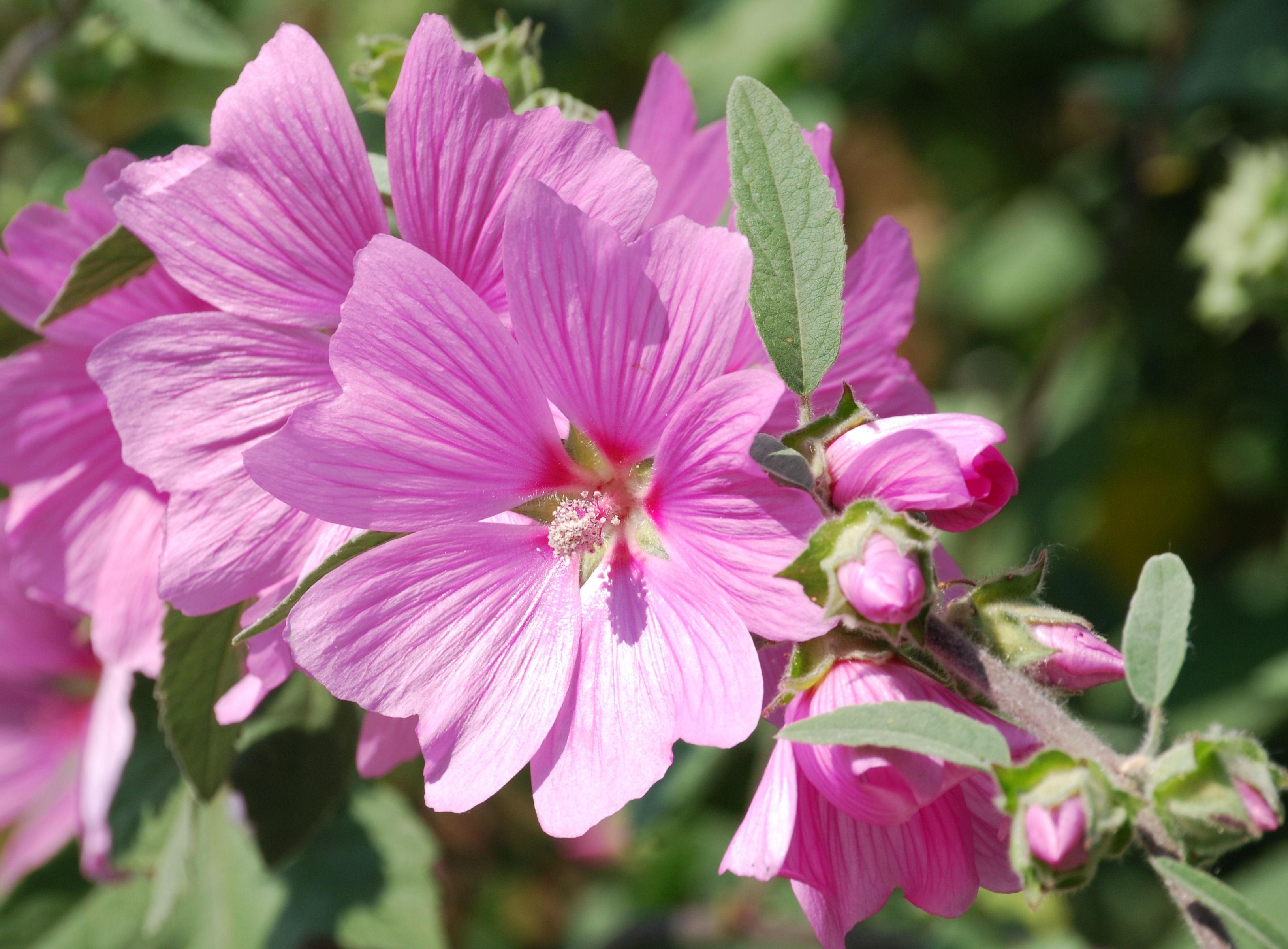 images gratuites : fleur, pétale, botanique, rose, flore, fleur