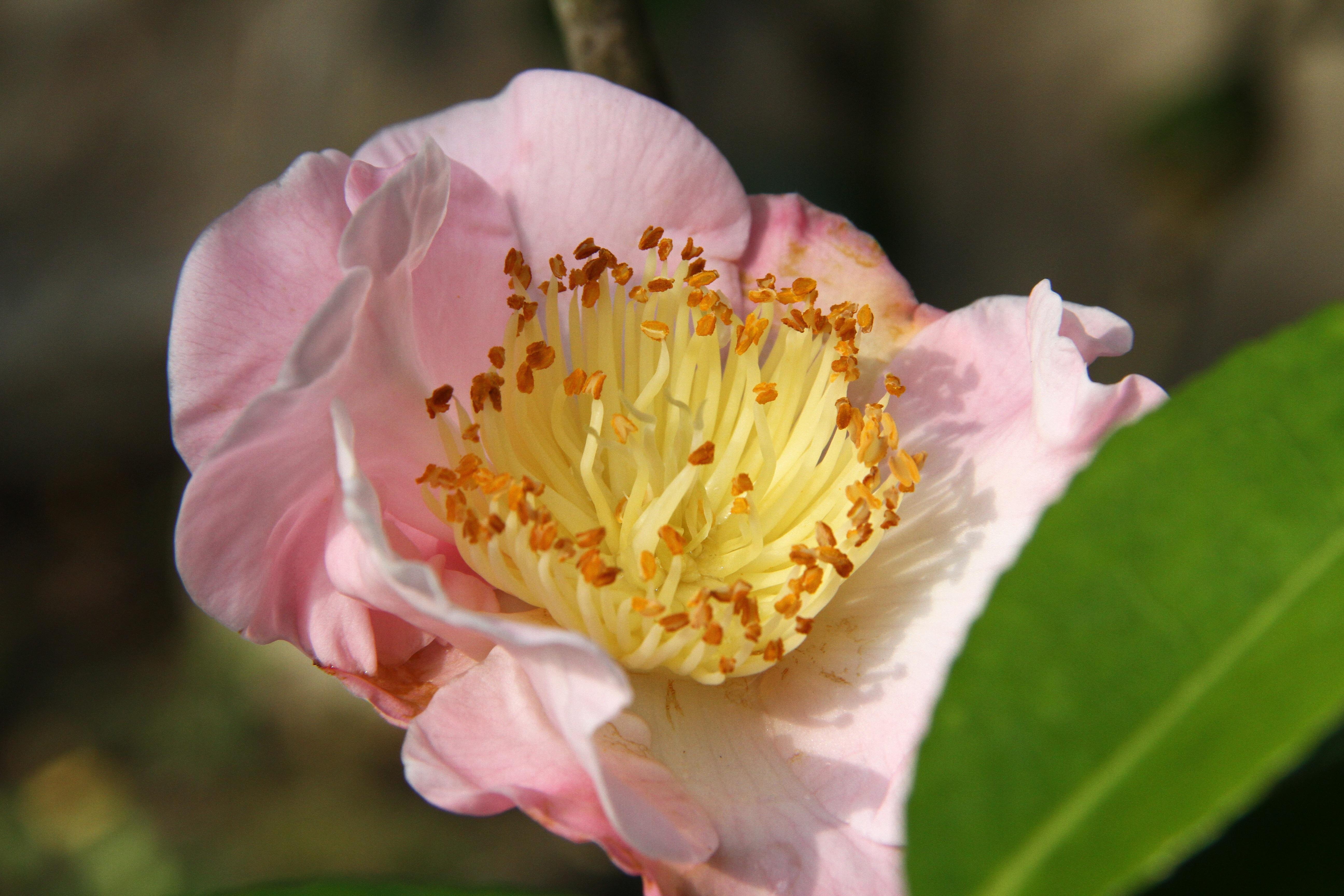 Free Images Blossom Petal Botany Yellow Flora Peony Macro