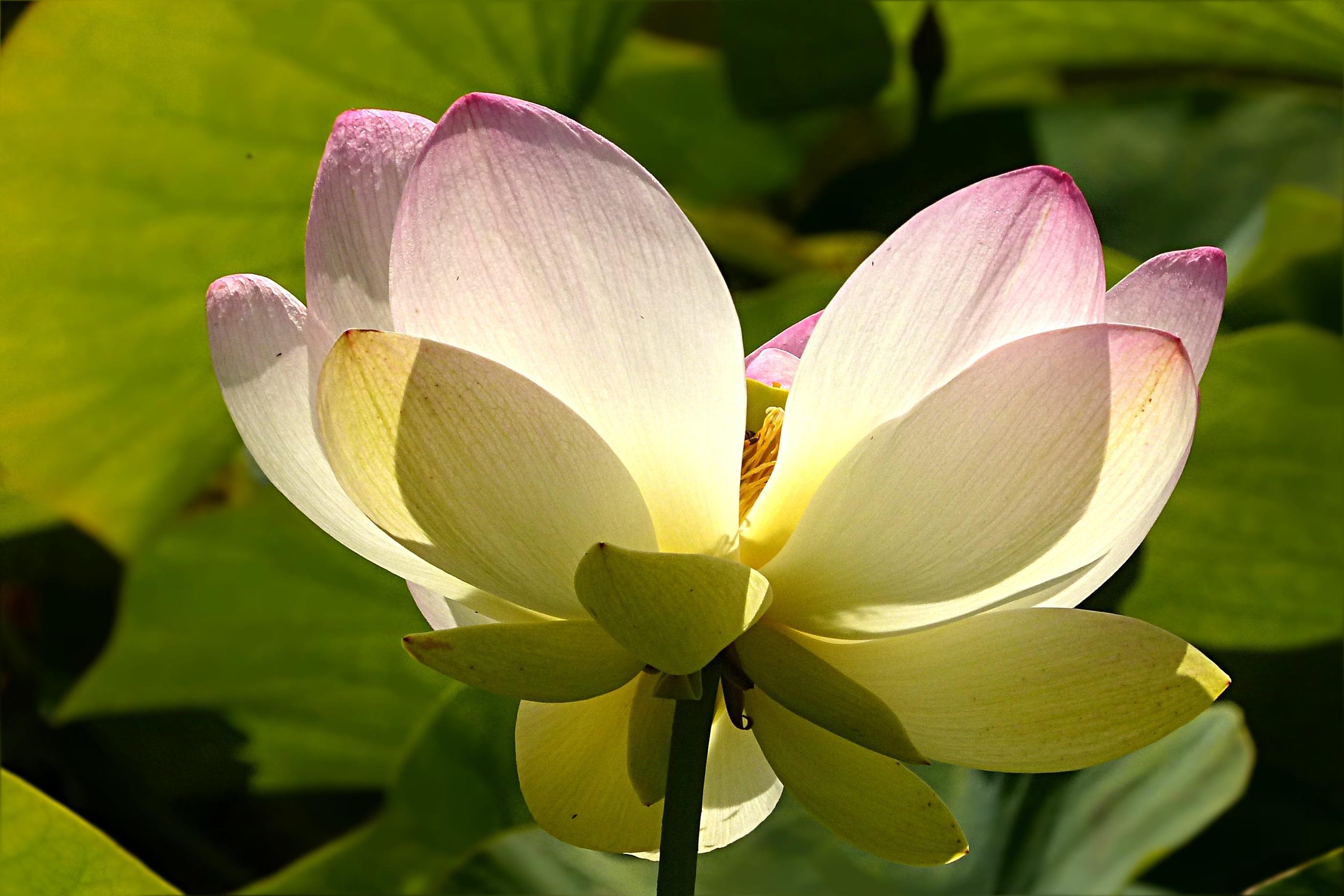 Free Images Blossom Petal Botany Yellow Sacred Lotus Aquatic