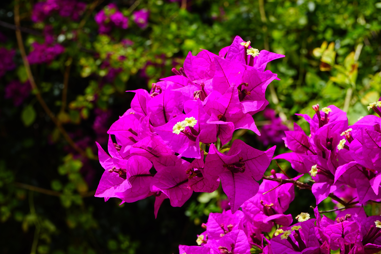 Bougainville Fleur dedans images gratuites : fleur, pétale, buisson, botanique, grimpeur