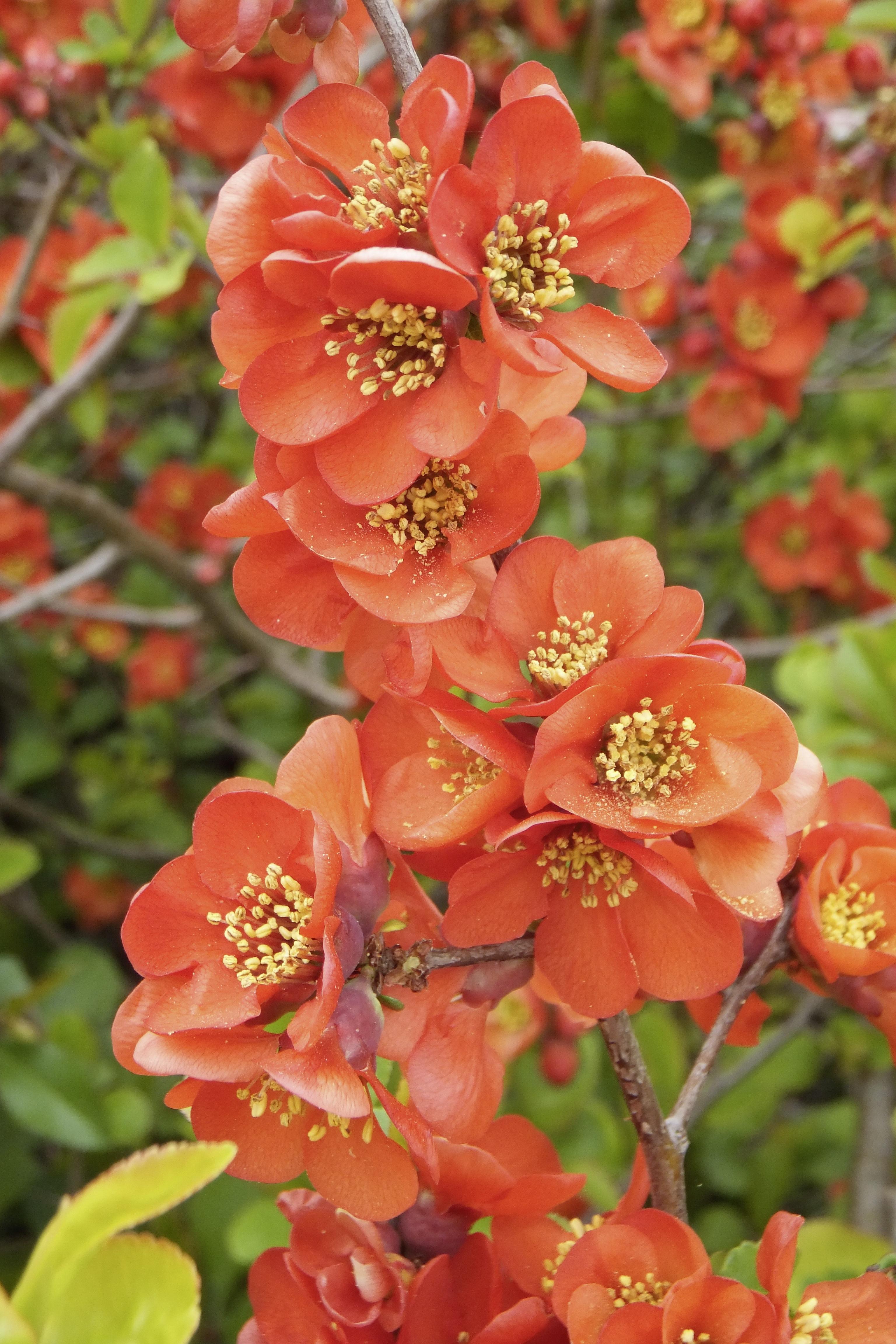 Images gratuites fleur p tale buisson produire for Plante arbuste