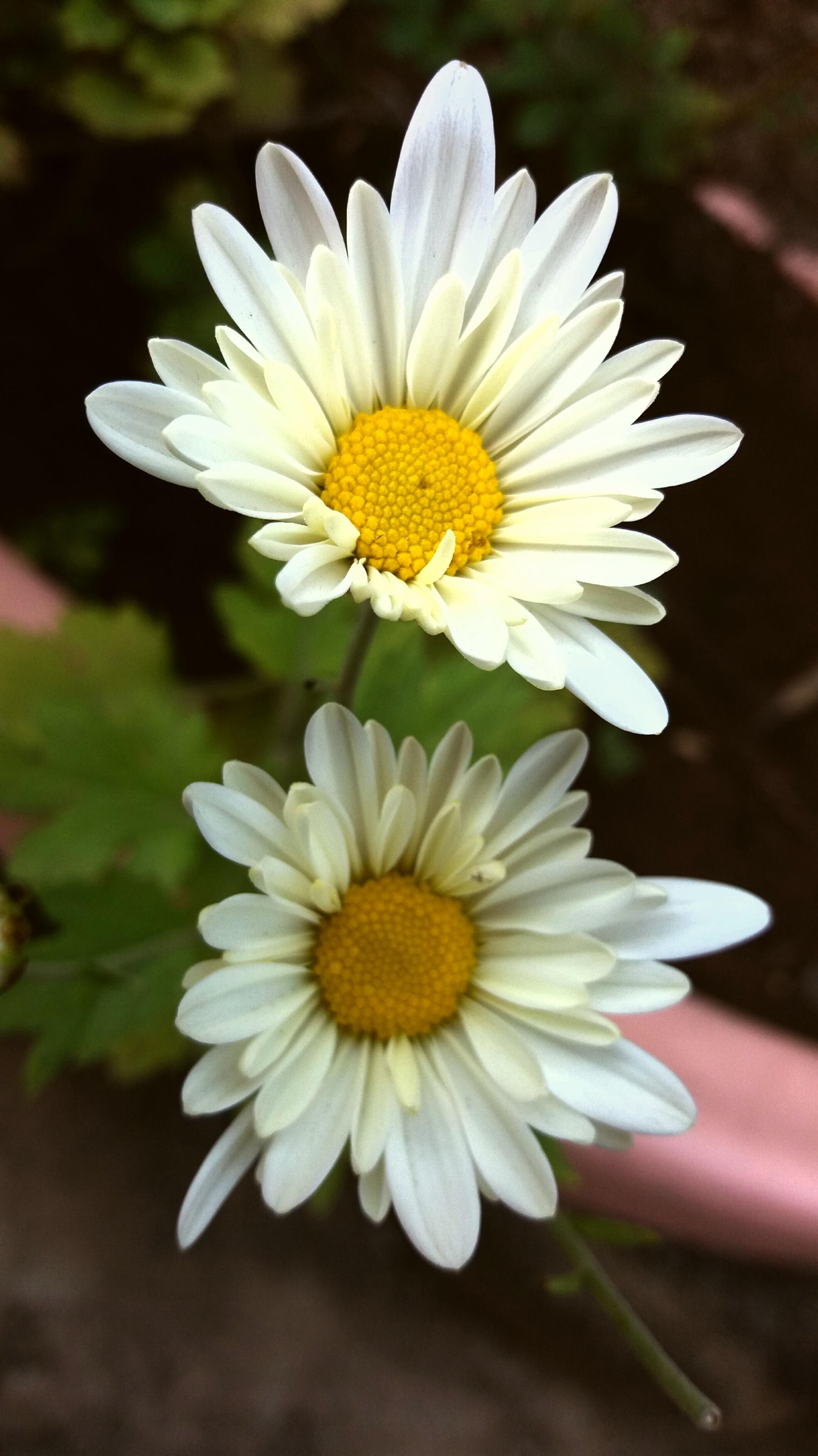 Images Gratuites Fleur Petale Botanique Jaune Flore Fleur