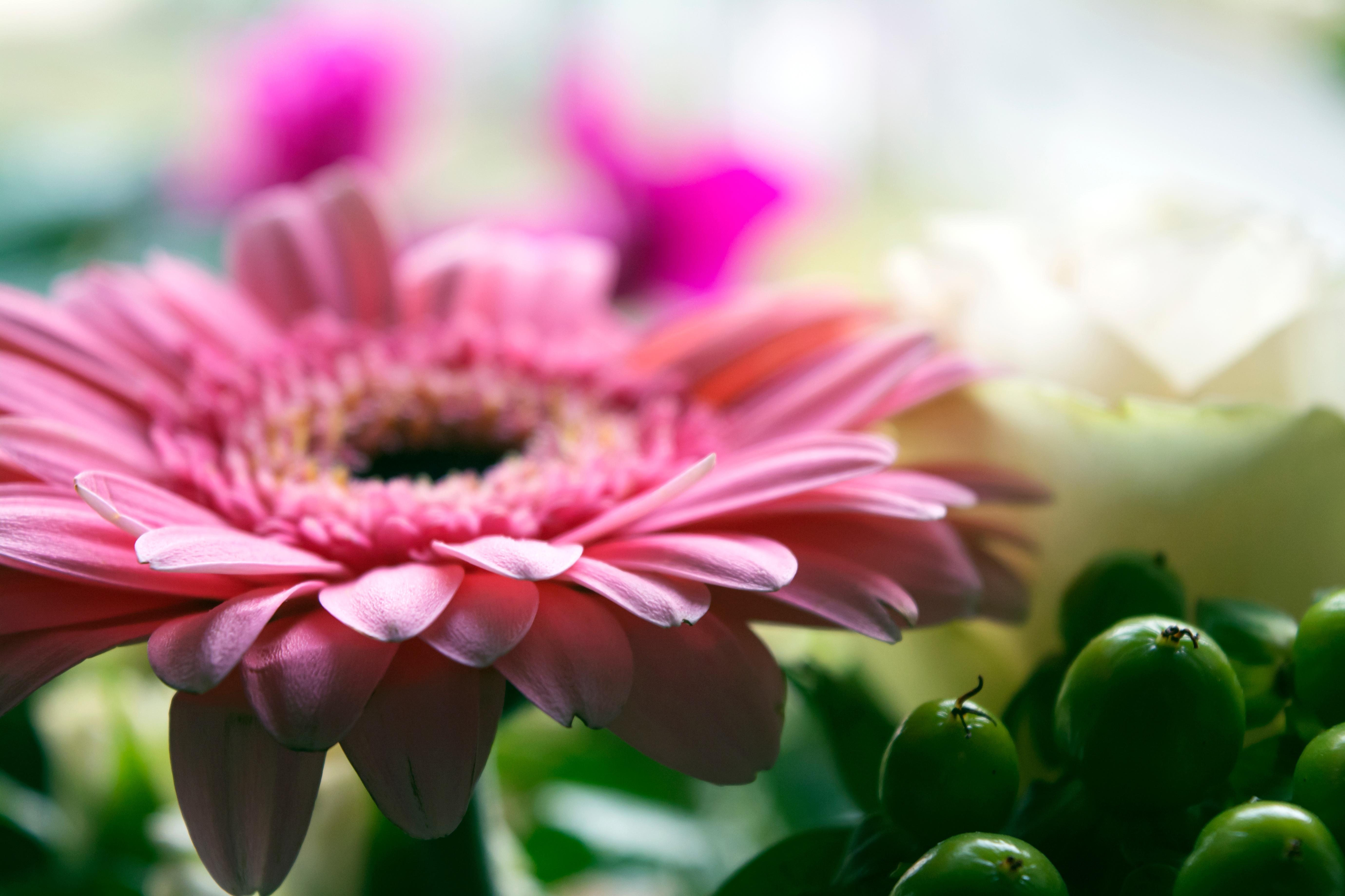 images gratuites fleur p tale marguerite rose flore fermer gerbera fleuriste. Black Bedroom Furniture Sets. Home Design Ideas