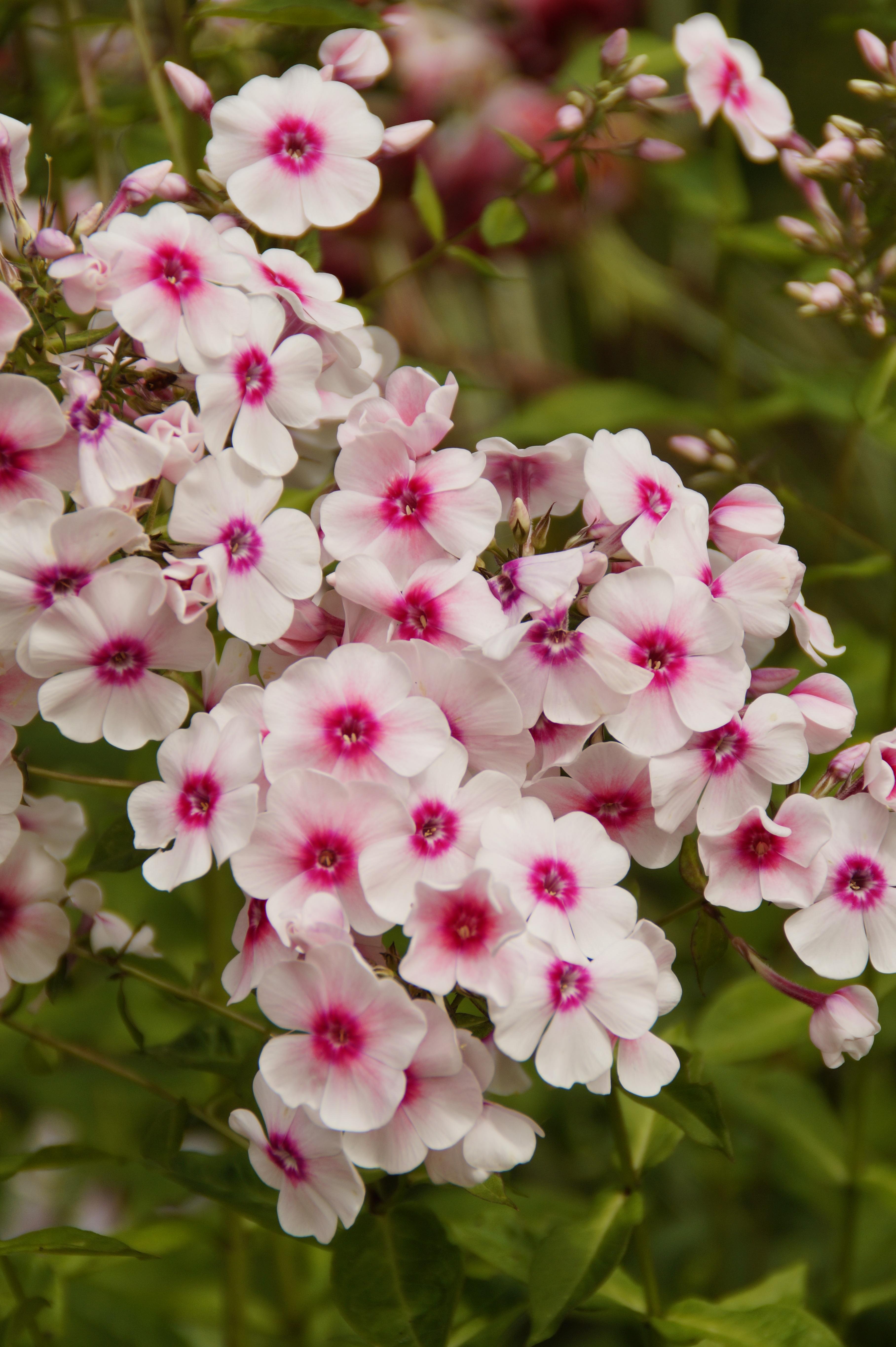 images gratuites p tale herbe botanique color rose flore fleur sauvage farbenpracht. Black Bedroom Furniture Sets. Home Design Ideas