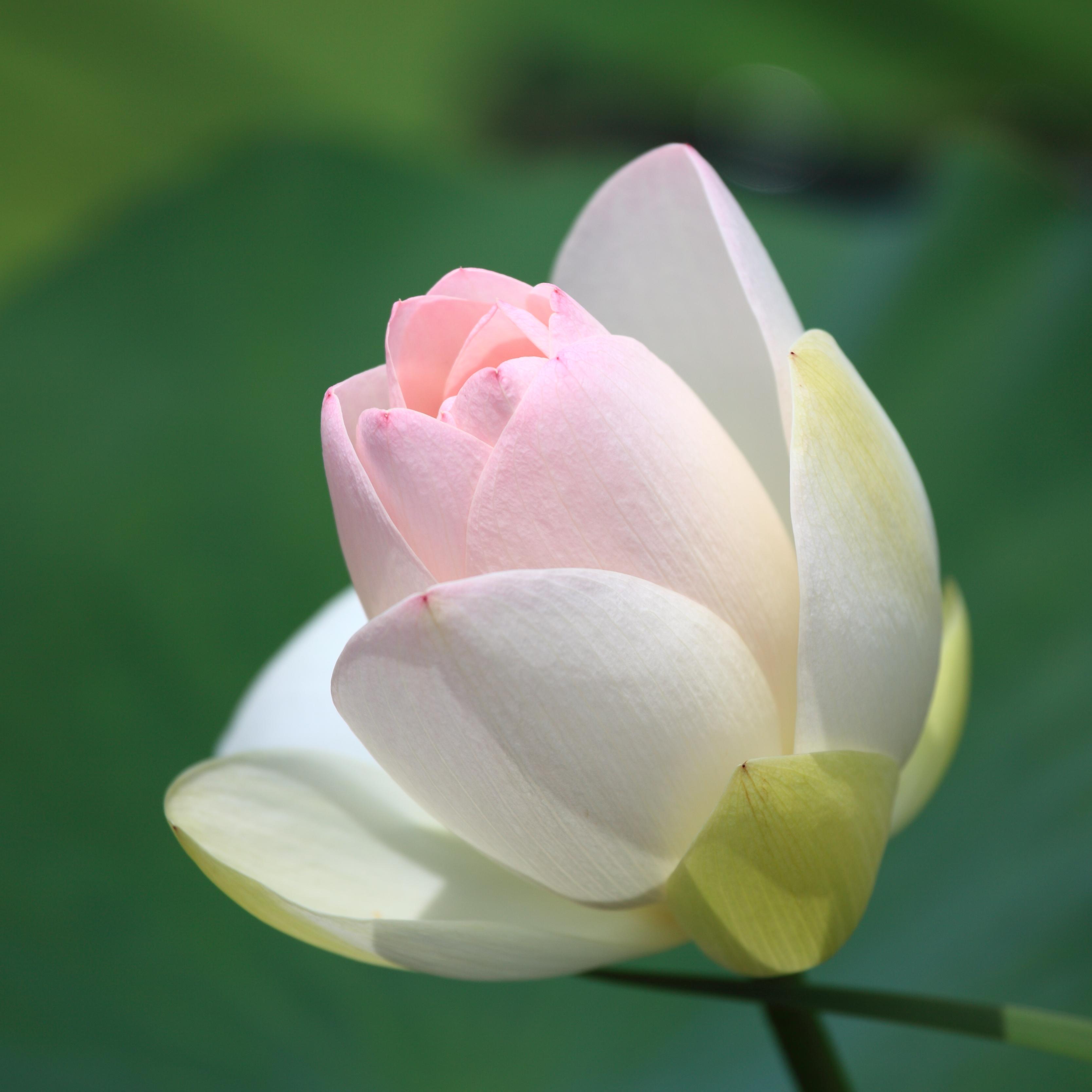 Free Images Blossom Flower Petal High Pink Sacred Lotus