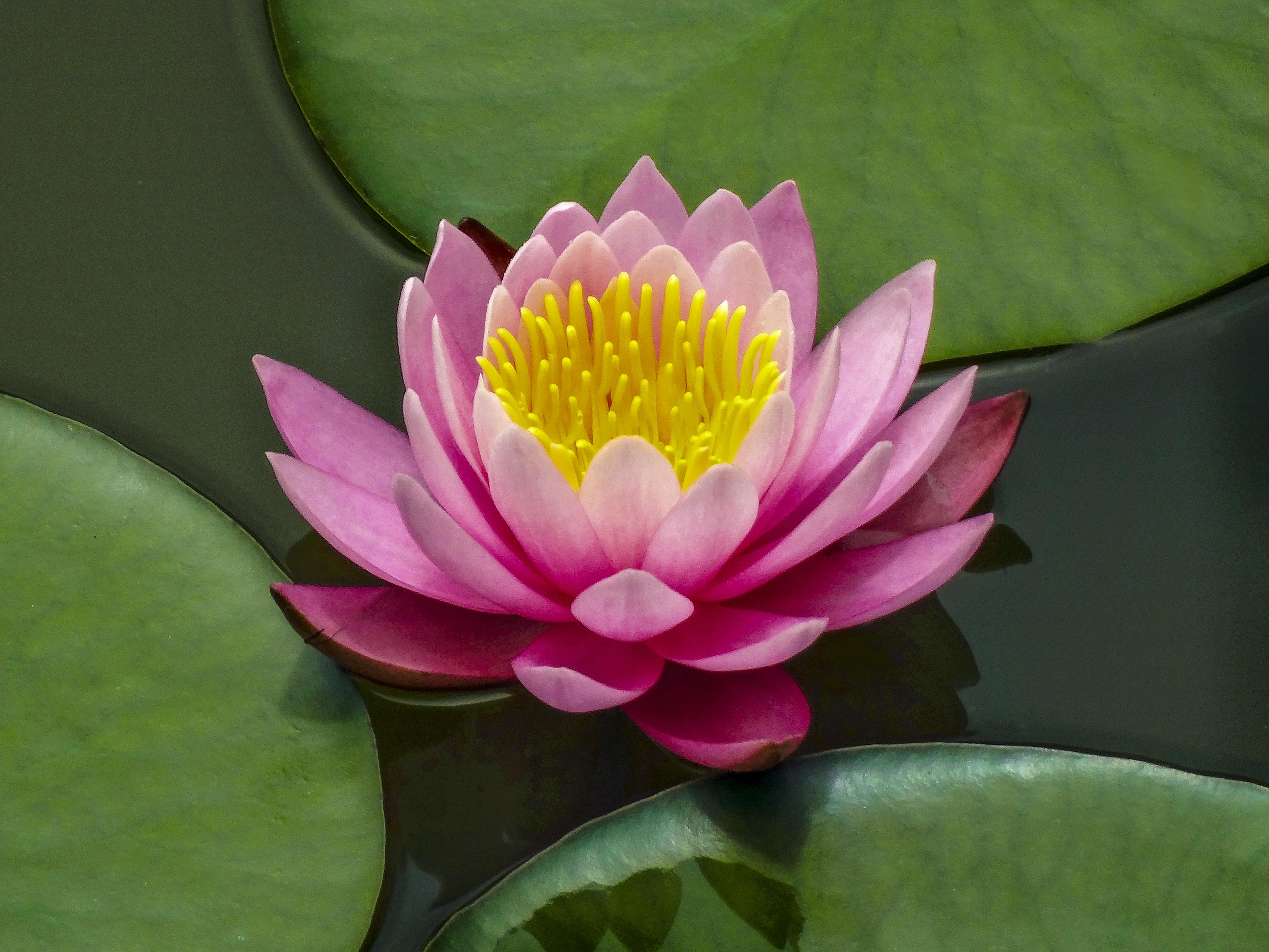 Free Images Blossom Petal Lake Green Botany Pink Sacred