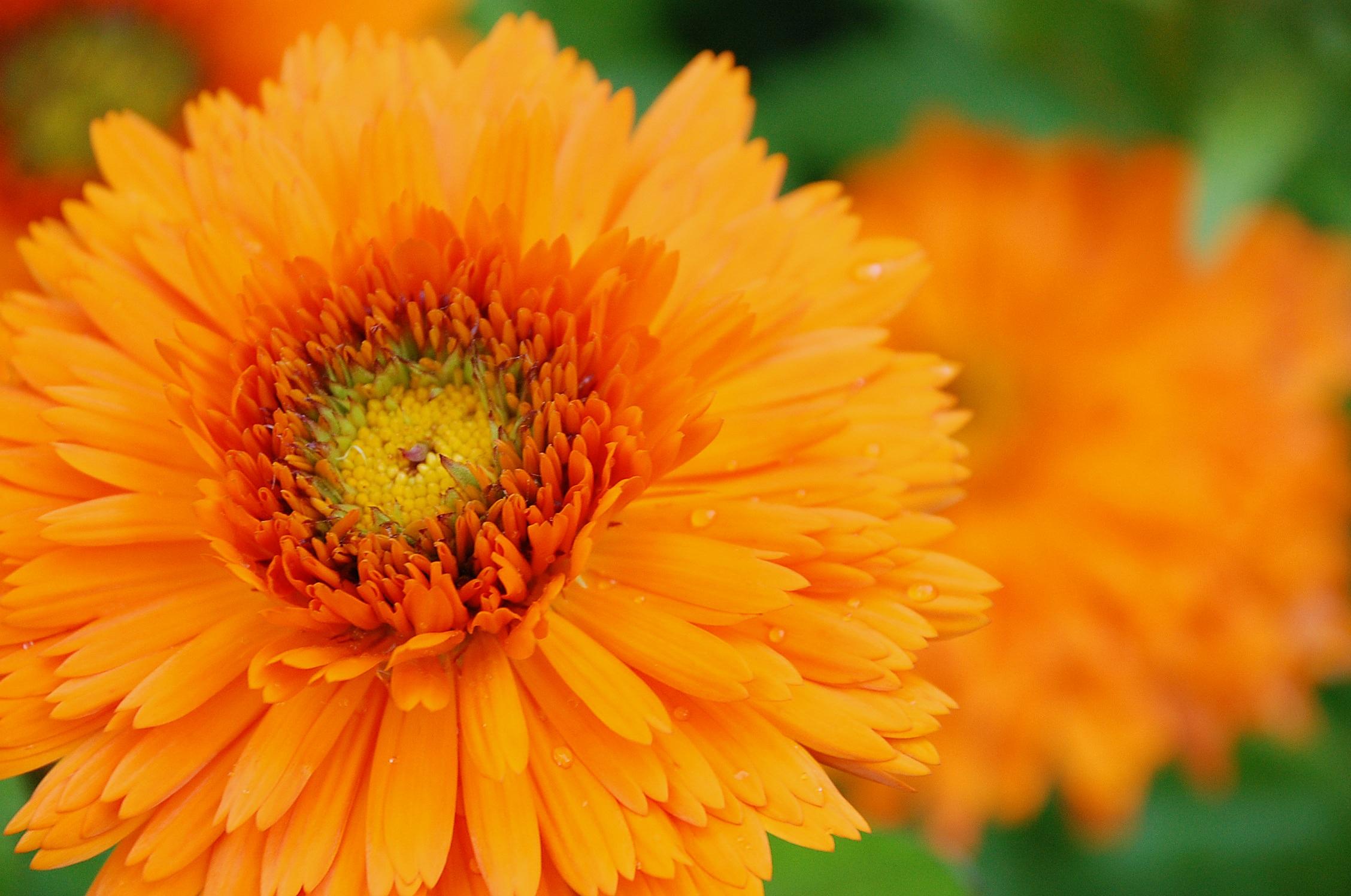 Free Images Blossom Flower Petal Orange Herb Botany Colorful