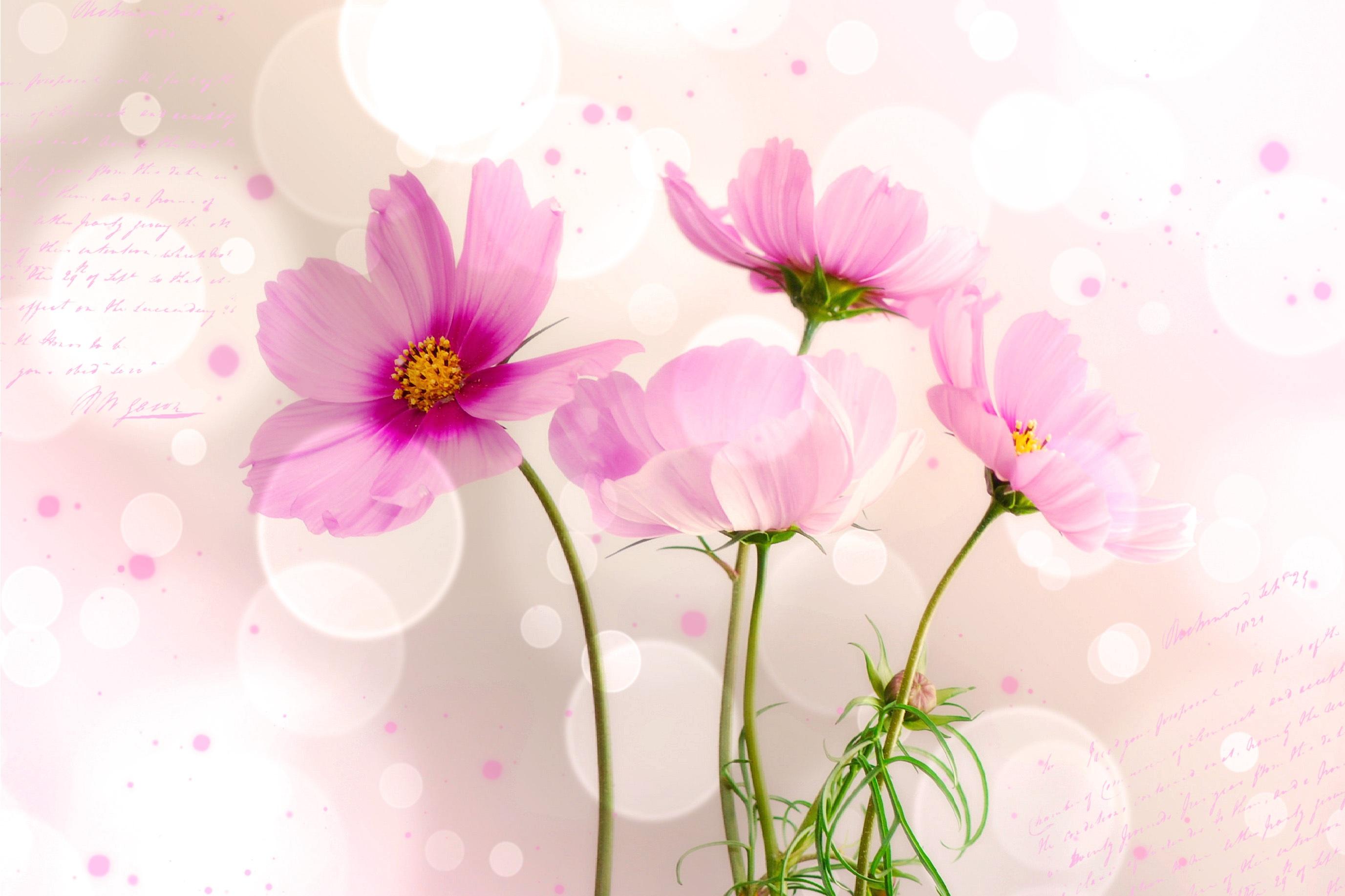 Free Images : blossom, petal, pink, flora, flowers, font, magenta ...