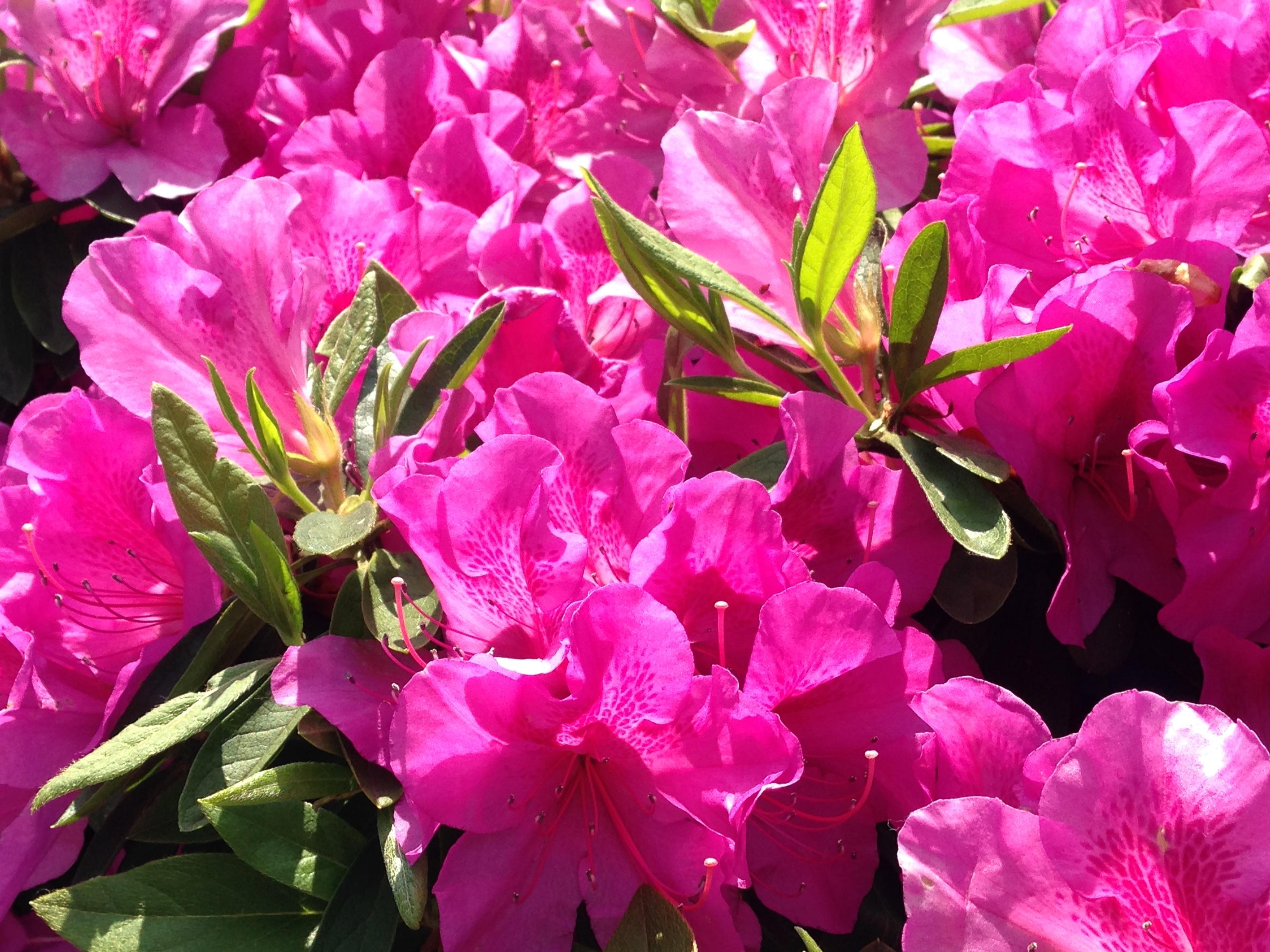панорамы цветок азалия картинка сари индии