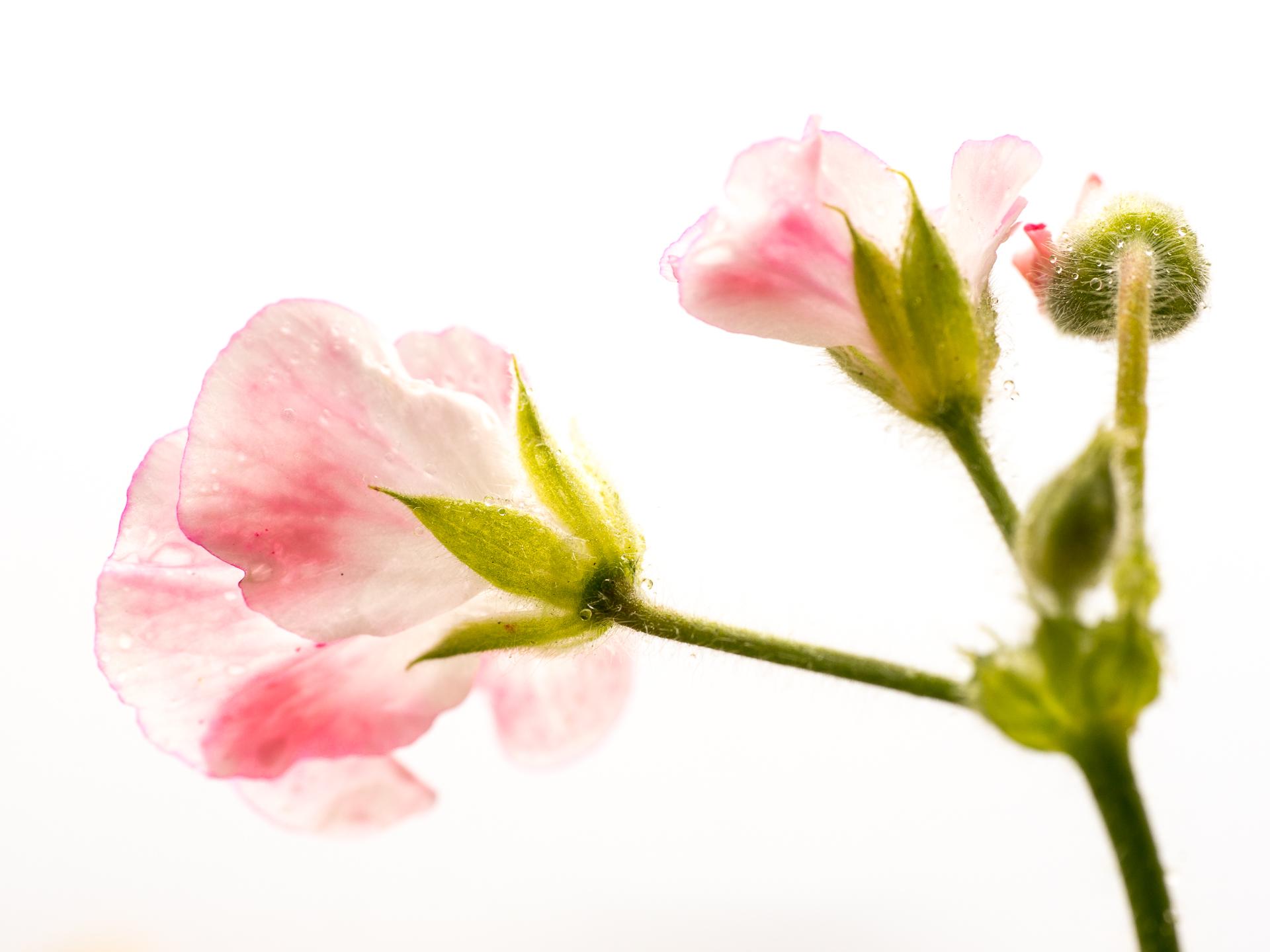 картинки как расцветают цветы помощник
