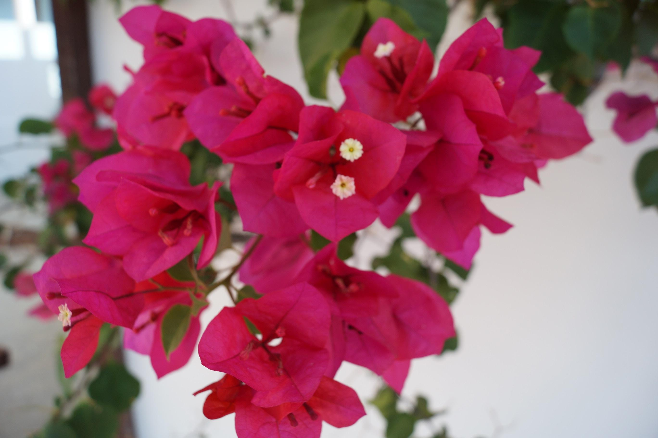 Комнатное растение с розовыми цветками фото