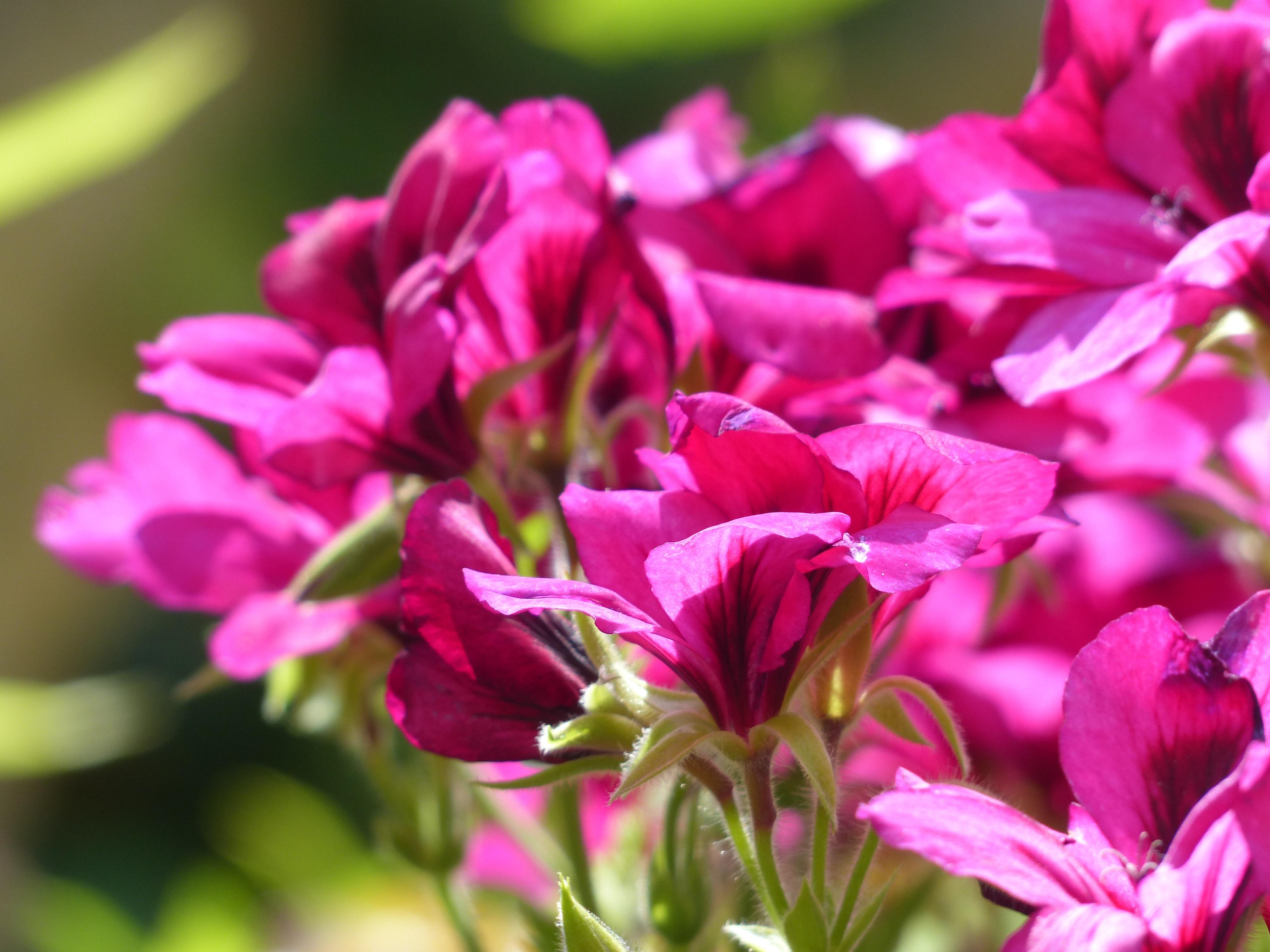 hình ảnh : thực vật, Cánh hoa, Đỏ, Thực vật học, Đầy màu sắc ...