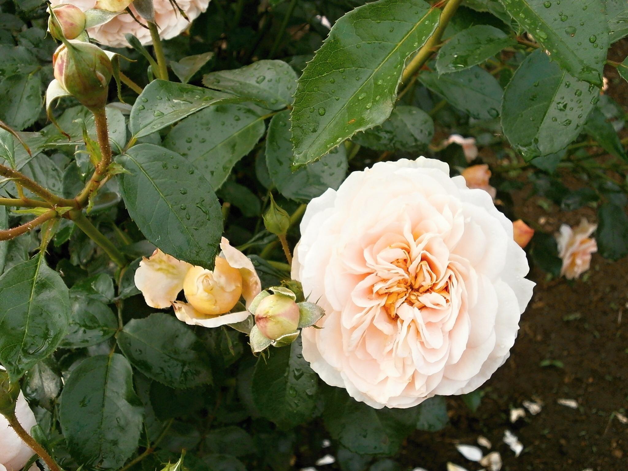 free images blossom flower petal botany flora shrub floribunda rose garden flowering plant garden roses rose family cream color burnet rose - Cream Garden Rose