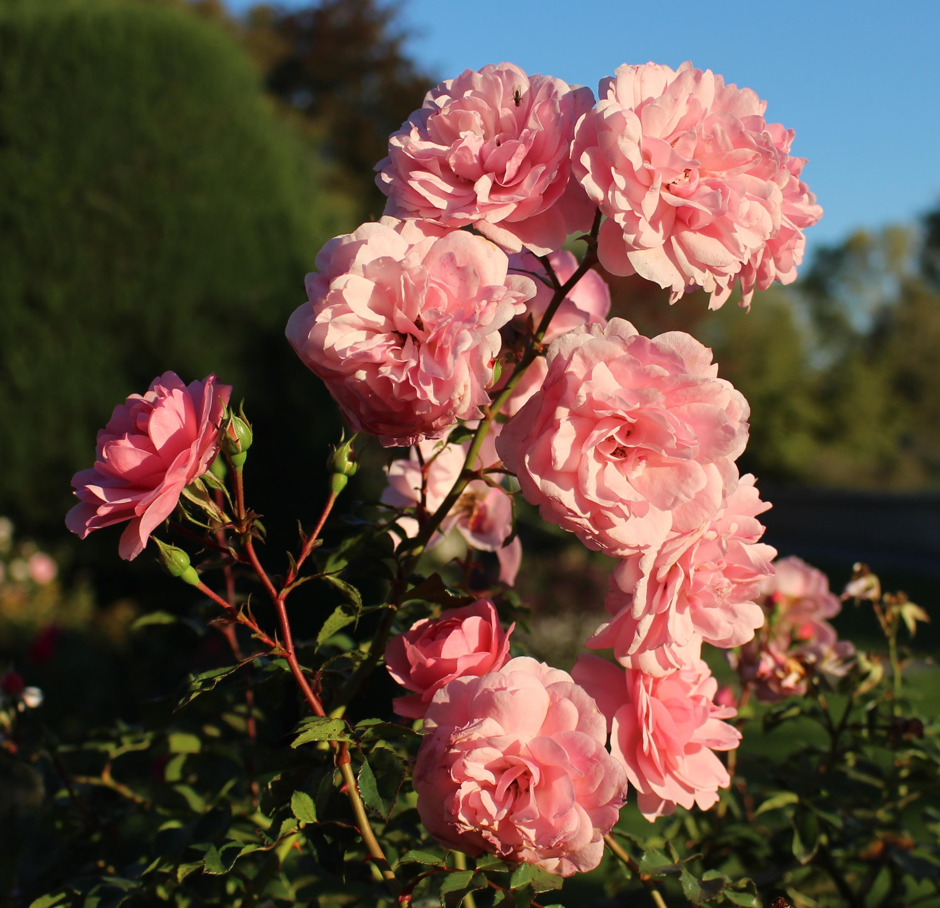 Garden Roses Flower Petal: Free Images : Blossom, Flower, Petal, Botany, Pink, Close