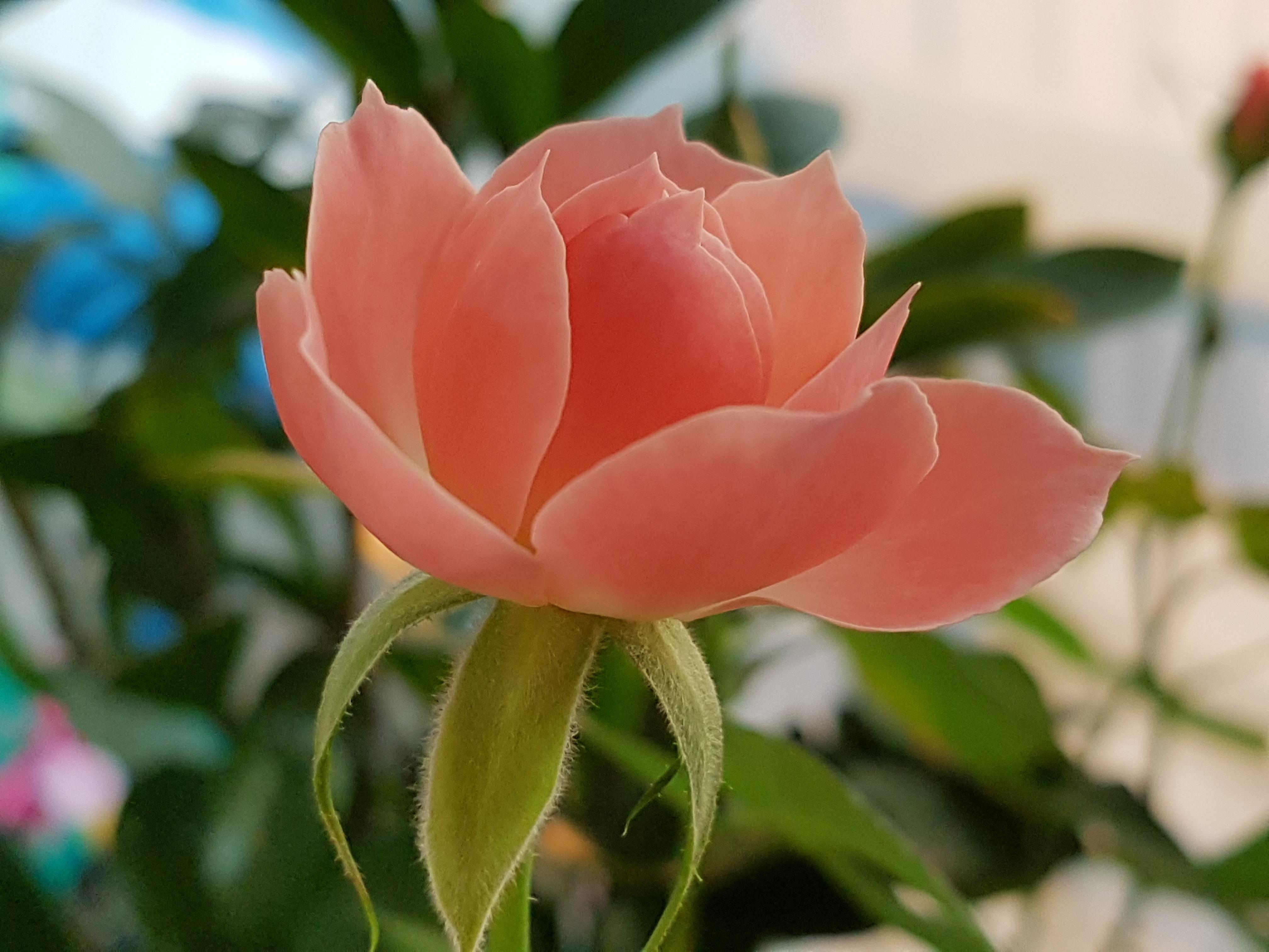 fotos gratis flor pétalo botánica rosado flora flores
