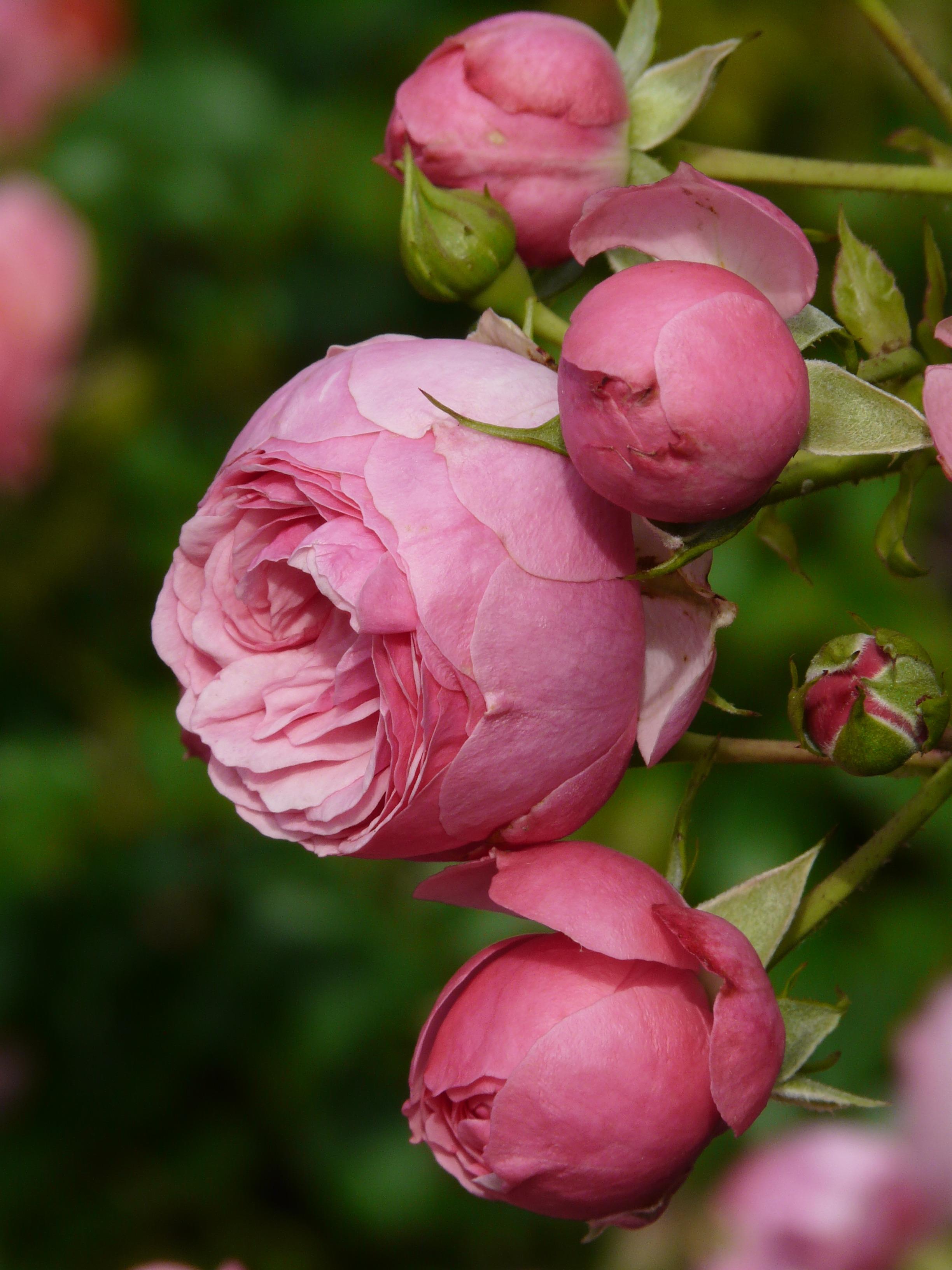 Free Images Blossom Petal Color Botany Colorful Pink Flora