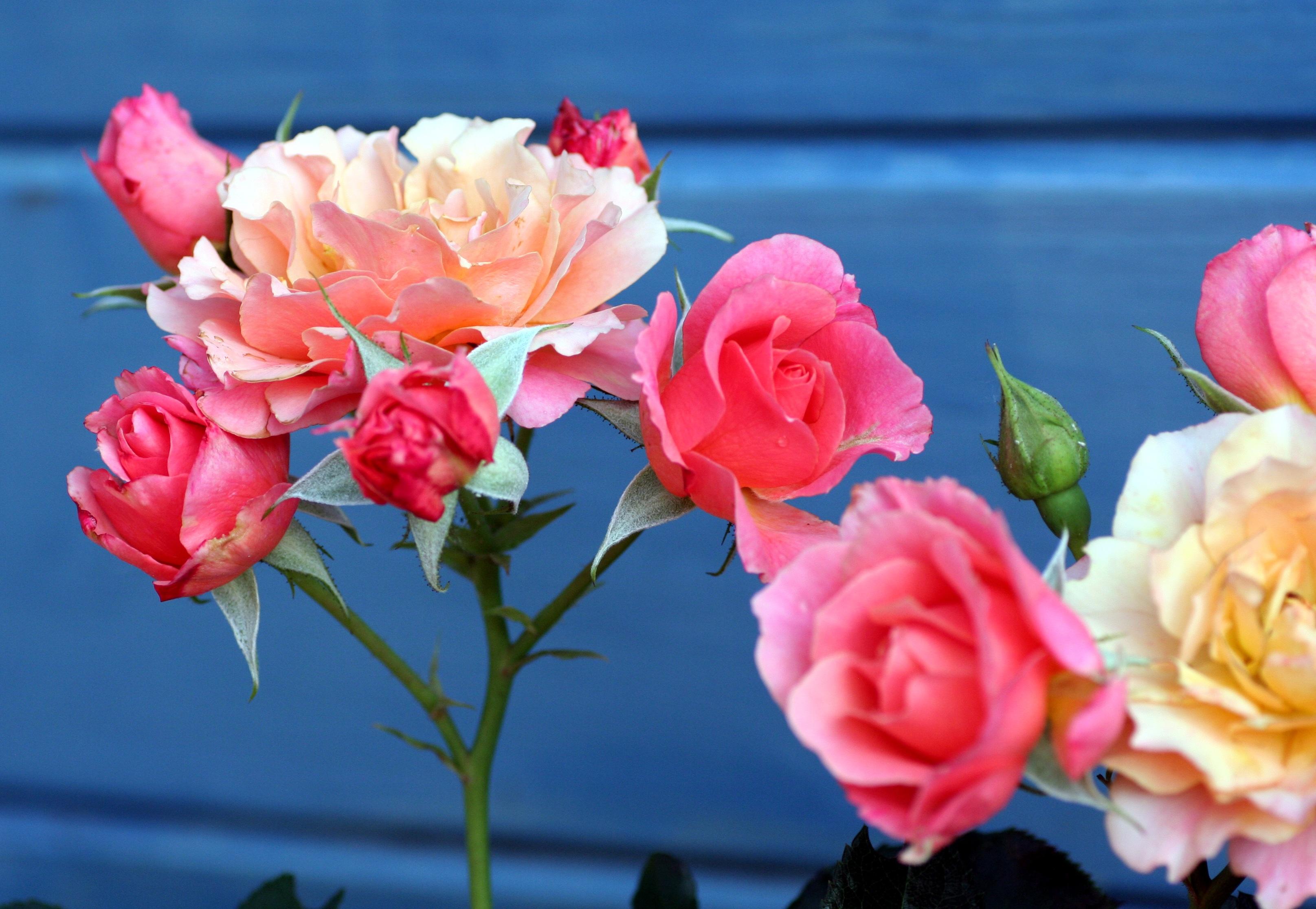 images gratuites : pétale, flore, des roses, feuilles, tiges