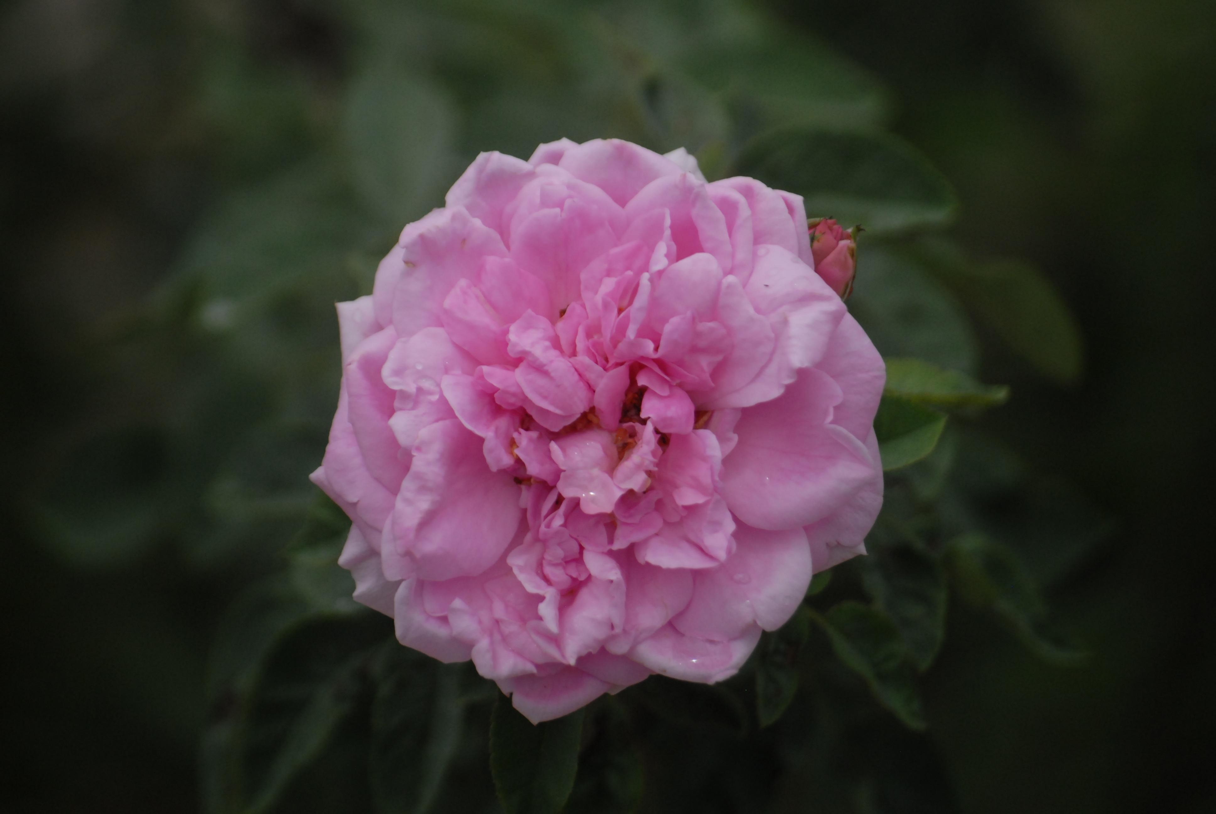 Gambar mekar menanam daun bunga berwarna merah muda Flora Latar Belakang mawar merah muda peony floribunda fotografi makro daun hijau