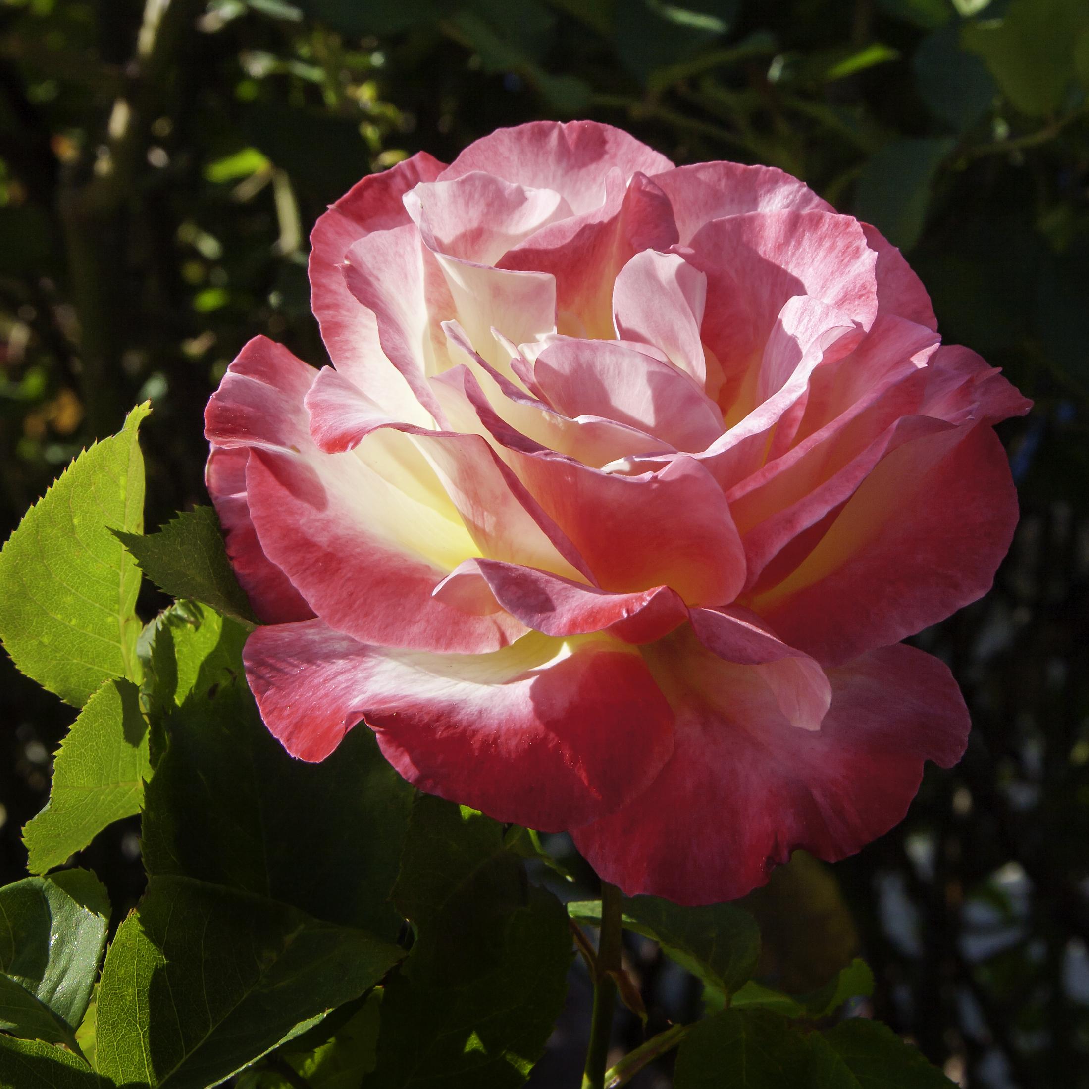Fotos gratis : flor, pétalo, rosado, flora, Floribunda, Detalles ...