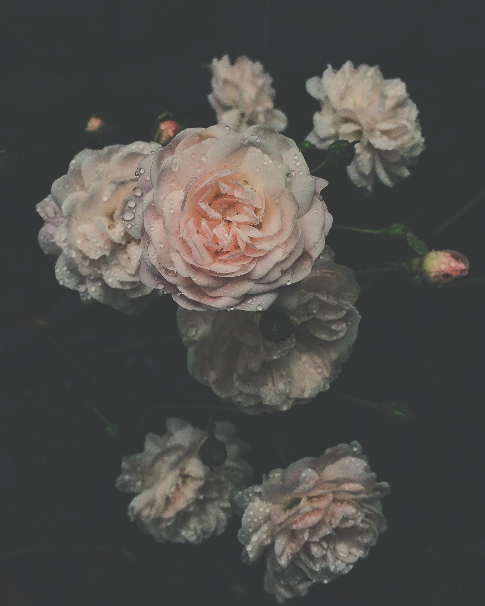 Garden Roses Flower Petal: Free Images : Blossom, Flower, Petal, Rose, Pink, Flora