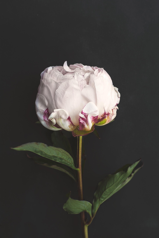 Mekar menanam bunga daun bunga mawar berwarna merah muda flora bunga putih bunga tunggal tunas peony public domain