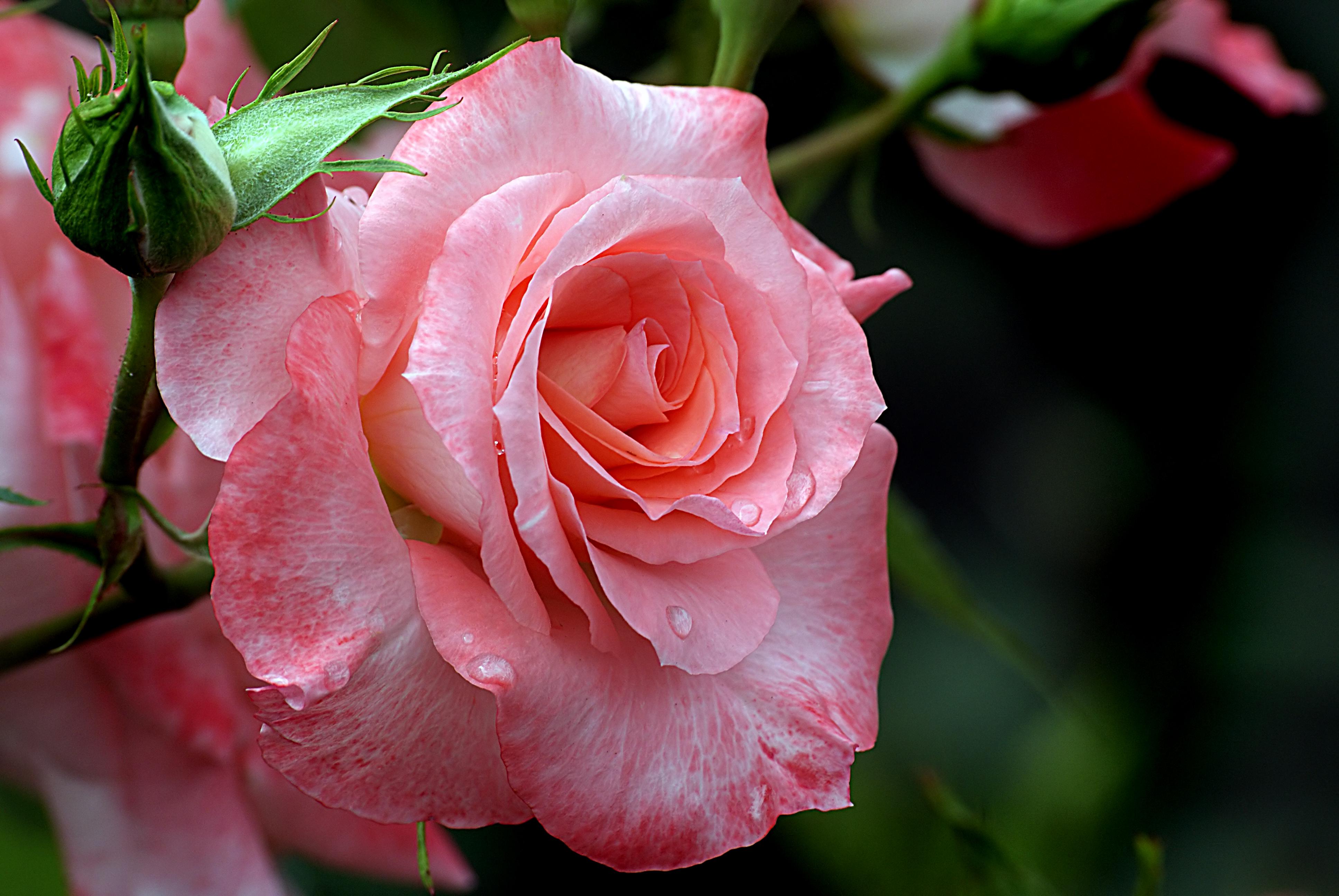Красивые розы картинки подружке