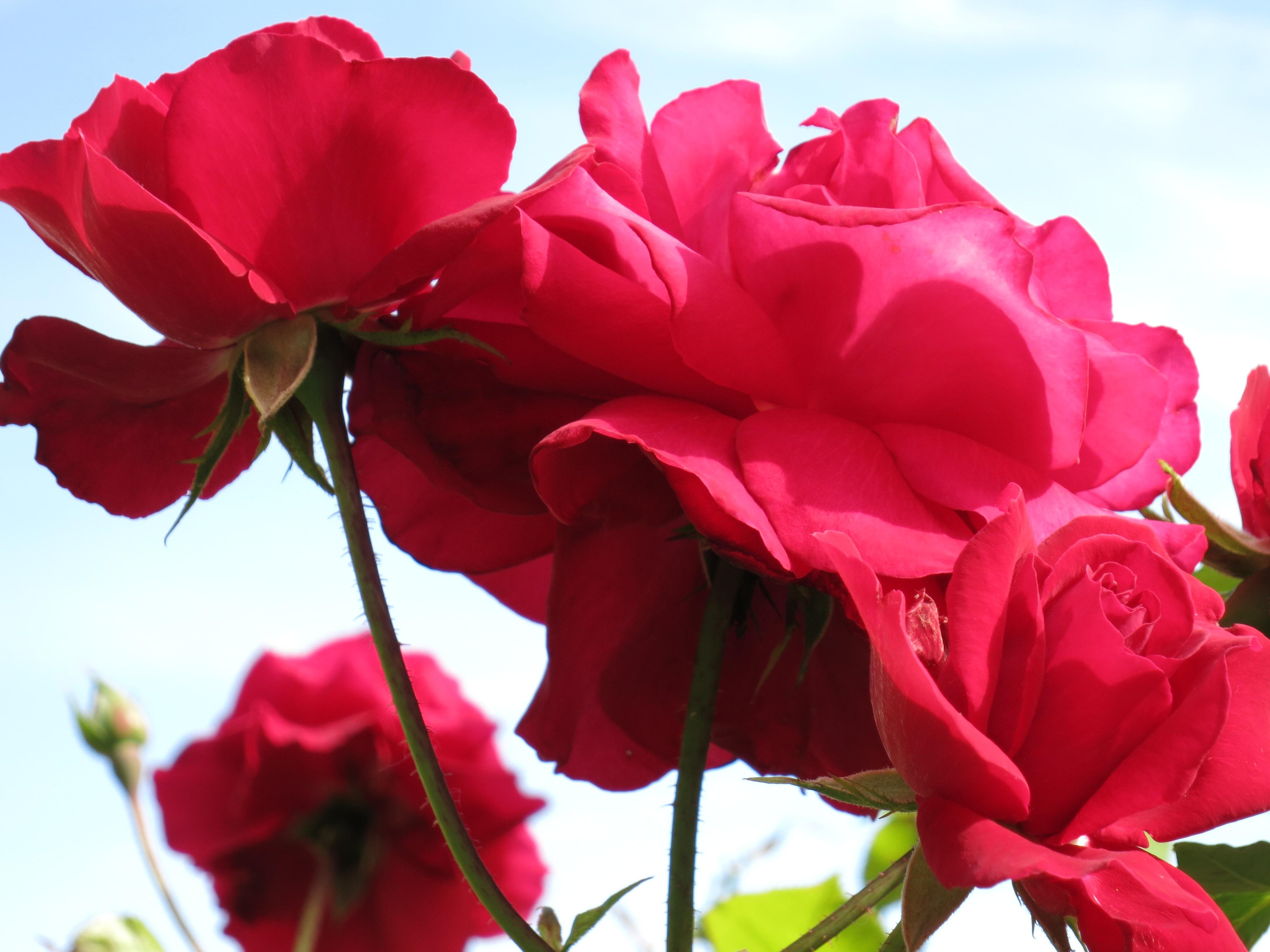 Hình Ảnh : Thực Vật, Cánh Hoa, Bông Hồng, Đỏ, Hồng, Hệ Thực Vật, Cây Bụi,  Thúi, Blume, Floribunda, Chụp Macro, Thực Vật Có Hoa, Hoa Hồng Vườn, Gia  Đình Tăng ...