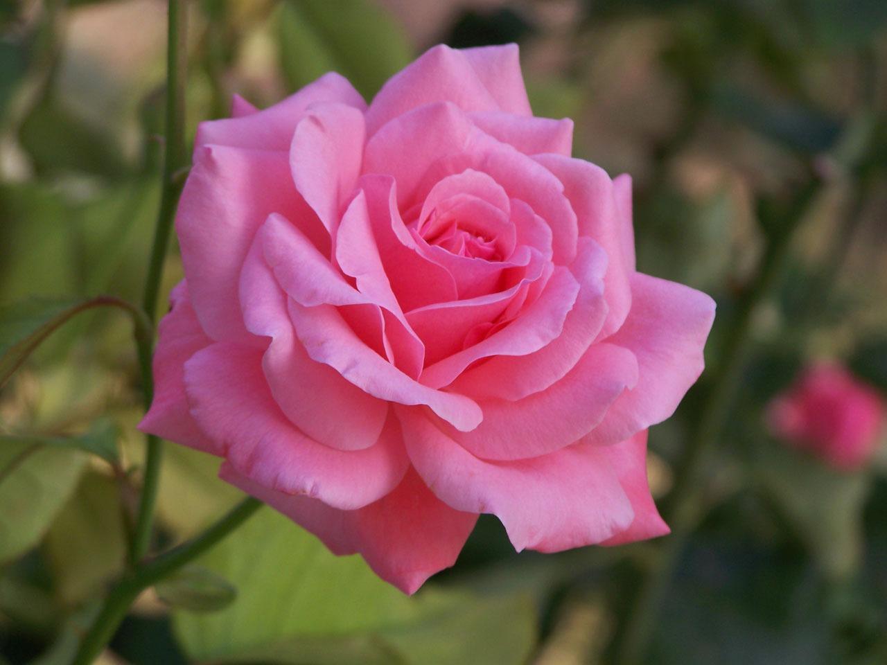 short essay on favorite flower rose